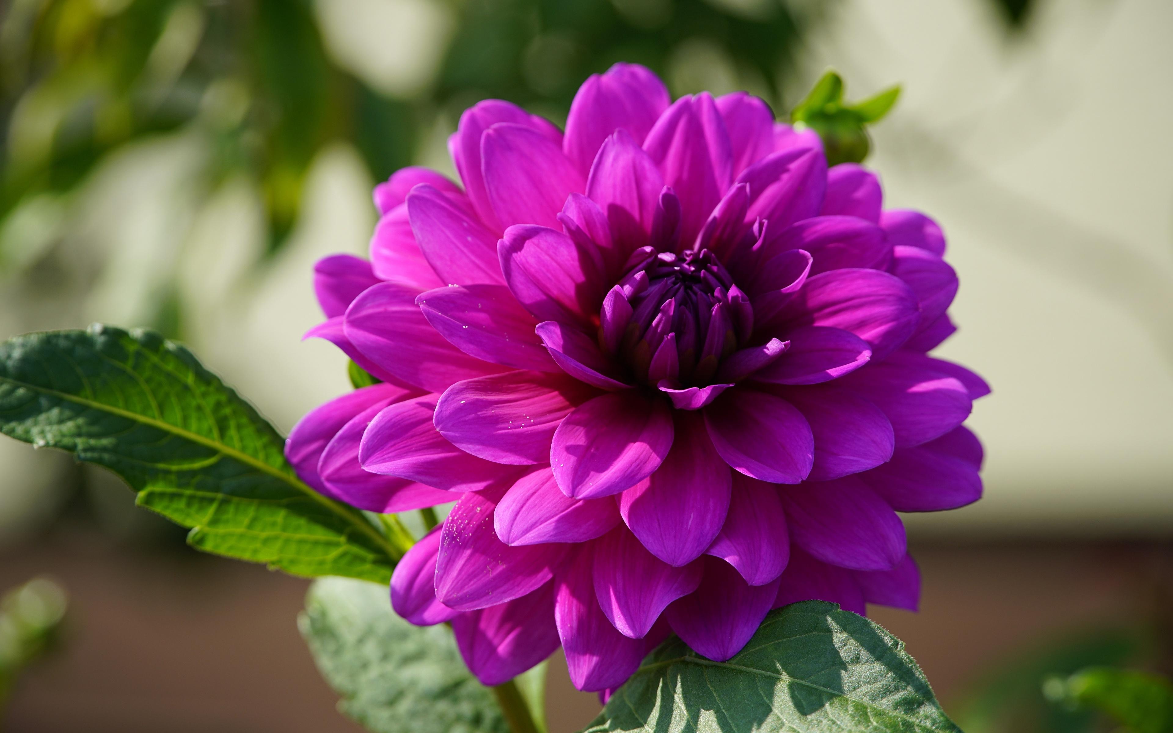 Картинки фиолетовая цветок Георгины вблизи 3840x2400 Фиолетовый фиолетовые фиолетовых Цветы Крупным планом