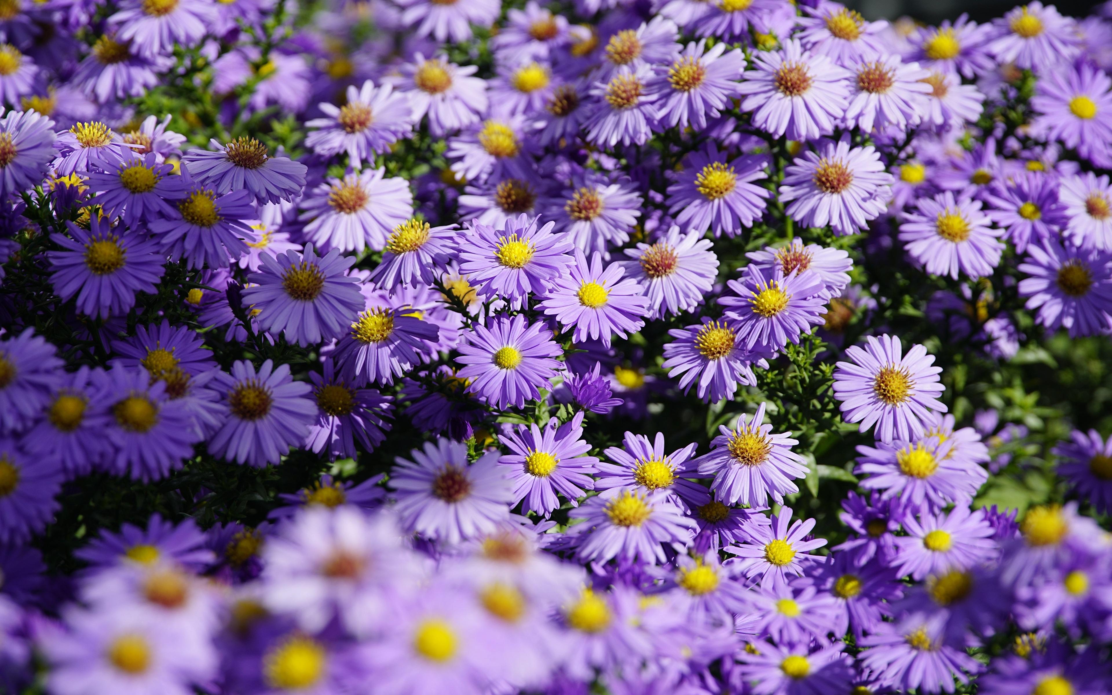 Обои для рабочего стола Shrub Aster Фиолетовый Астры Цветы Много 3840x2400 фиолетовая фиолетовые фиолетовых цветок