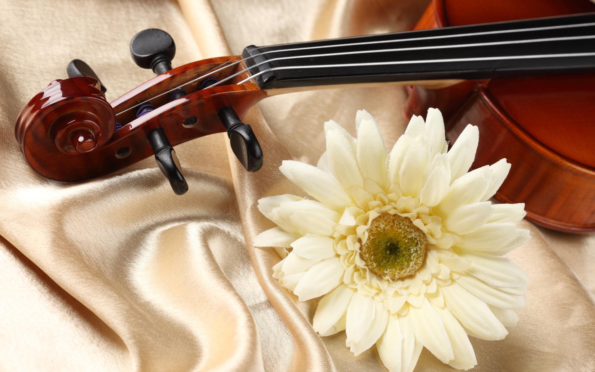 Фотография скрипка fabric satin гербера Цветы Крупным планом 1920x1200 Скрипки Герберы цветок вблизи