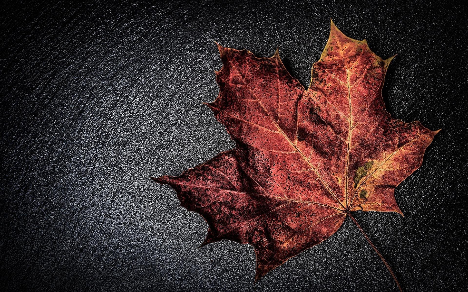 кленовый листья осень макро загрузить