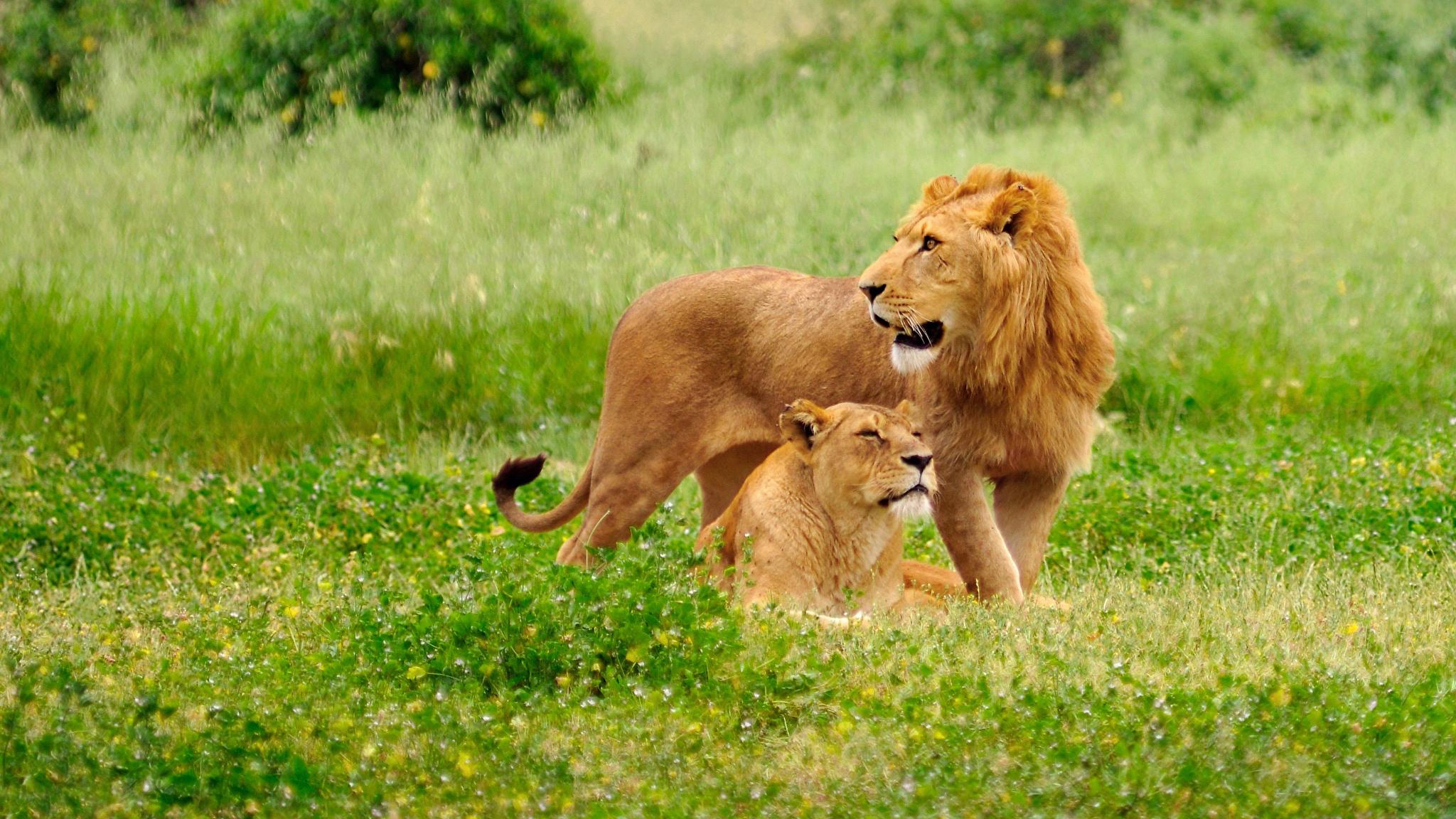 Обнимающиеся львята без смс