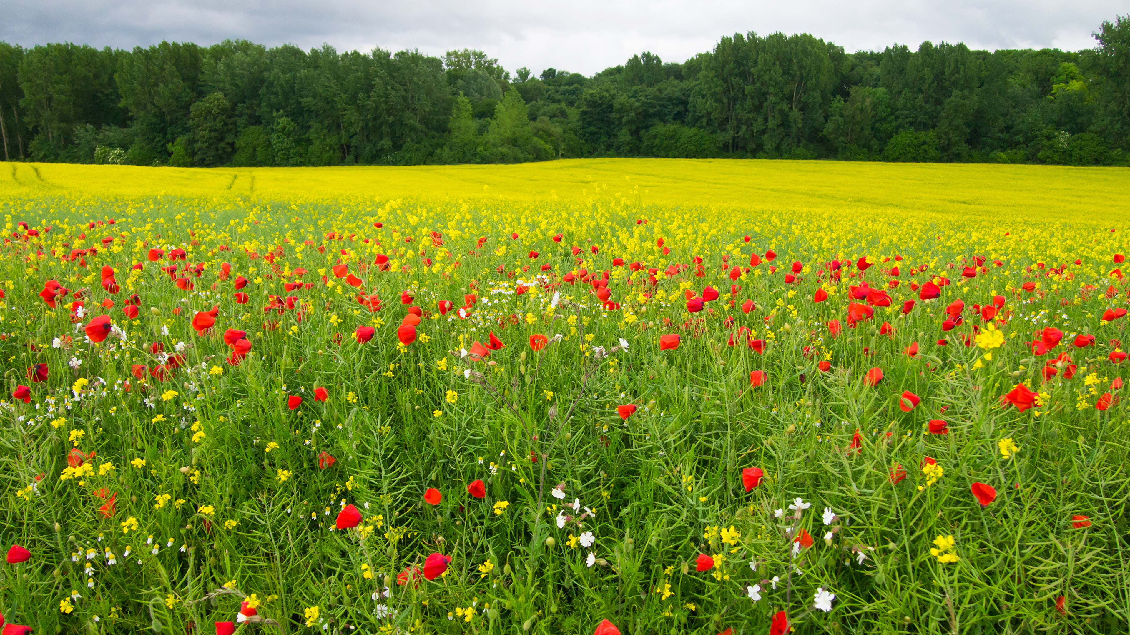 Зеленое поле с маком без смс