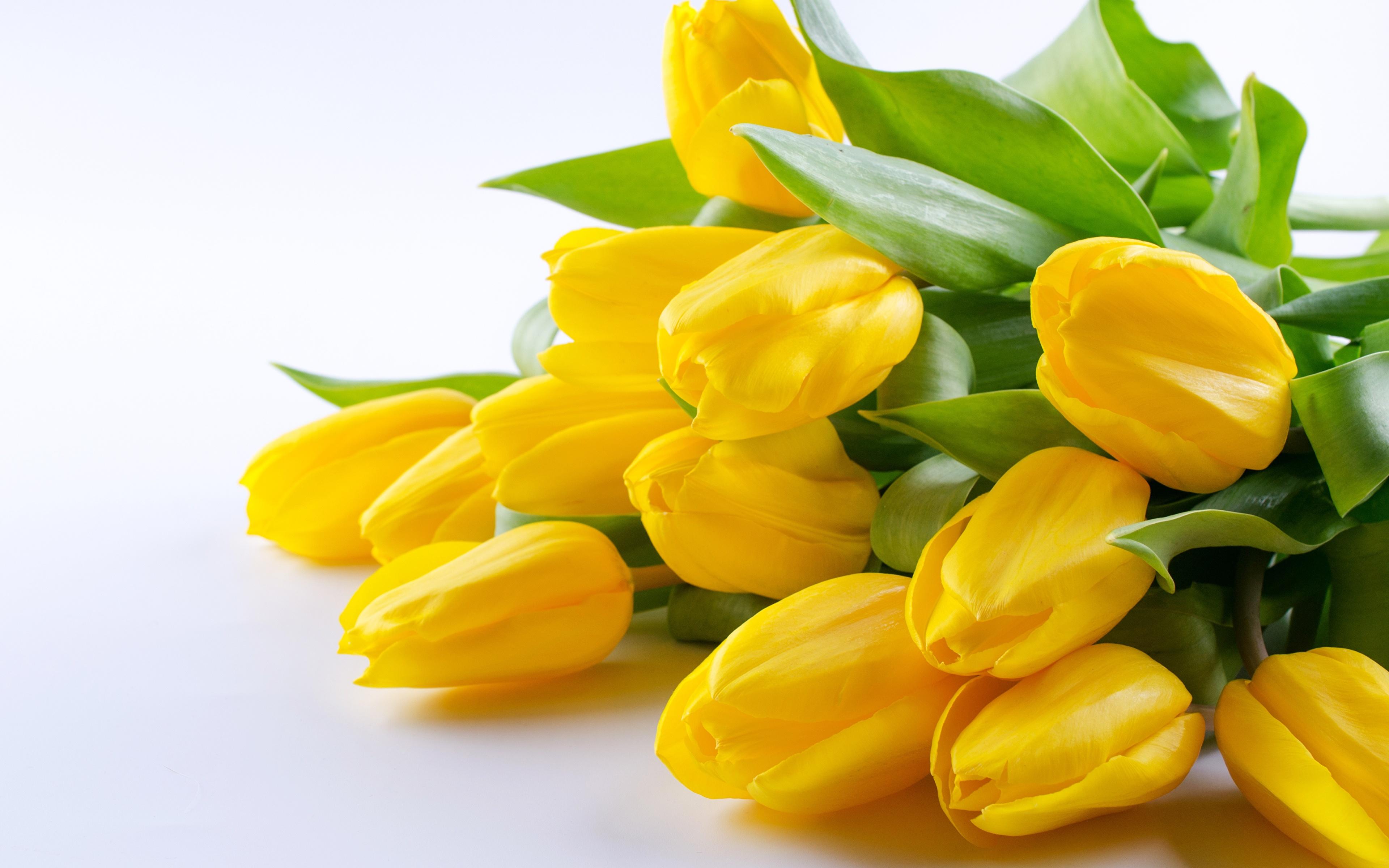 Картинка желтая Тюльпаны цветок 3840x2400 желтые Желтый желтых тюльпан Цветы