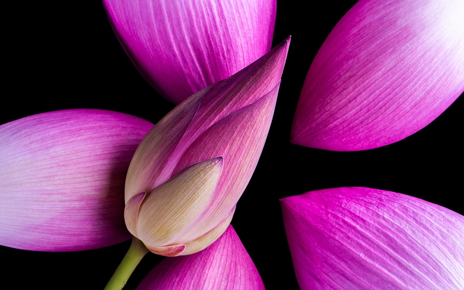 Обои для рабочего стола розовых Лотос Цветы вблизи 1920x1200 розовая розовые Розовый цветок Крупным планом