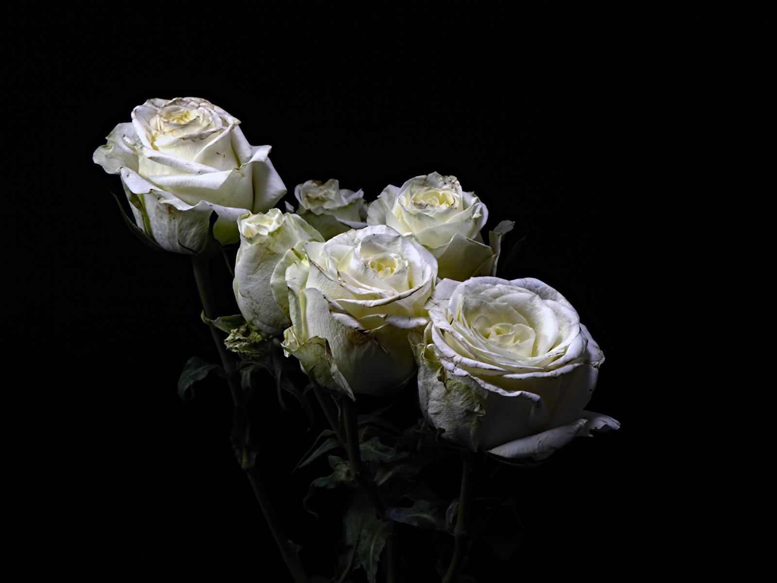 Фото роза Белый Цветы на черном фоне Крупным планом 1600x1200 Розы белых белая белые цветок вблизи Черный фон