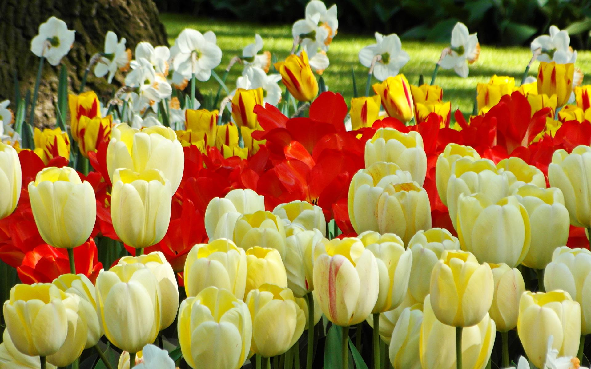 Фото Тюльпаны Цветы Нарциссы Много вблизи 1920x1200 тюльпан цветок Крупным планом