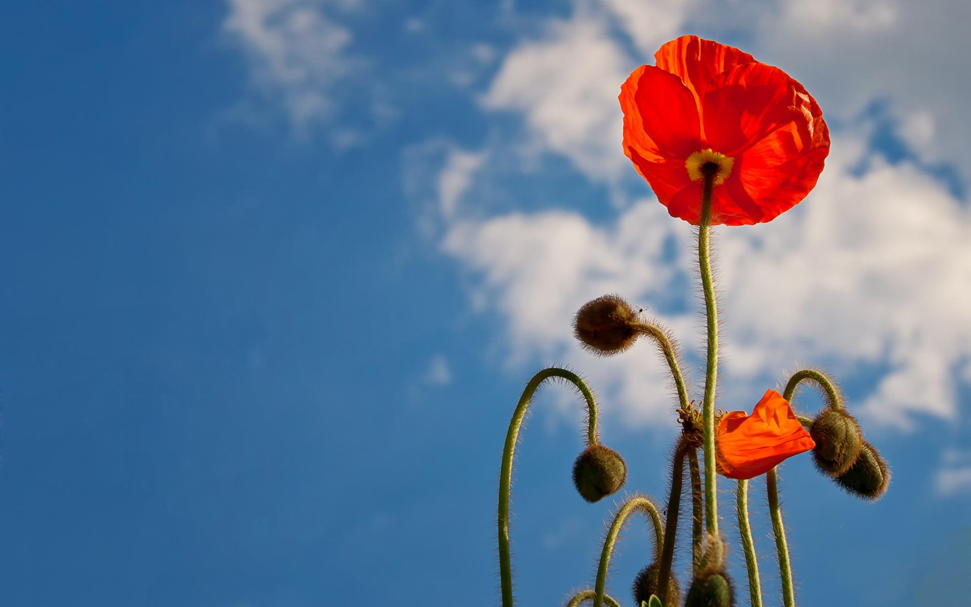 Картинка Красный мак цветок Бутон Крупным планом 1920x1200 красная красные красных Маки Цветы вблизи