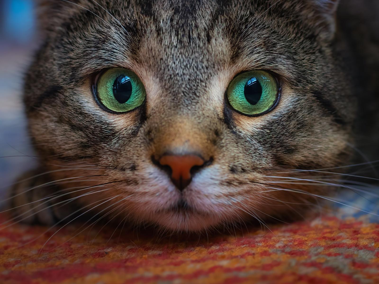 Обои для рабочего стола кошка Глаза Усы Вибриссы Морда Взгляд Животные 1600x1200 кот коты Кошки морды смотрит смотрят животное