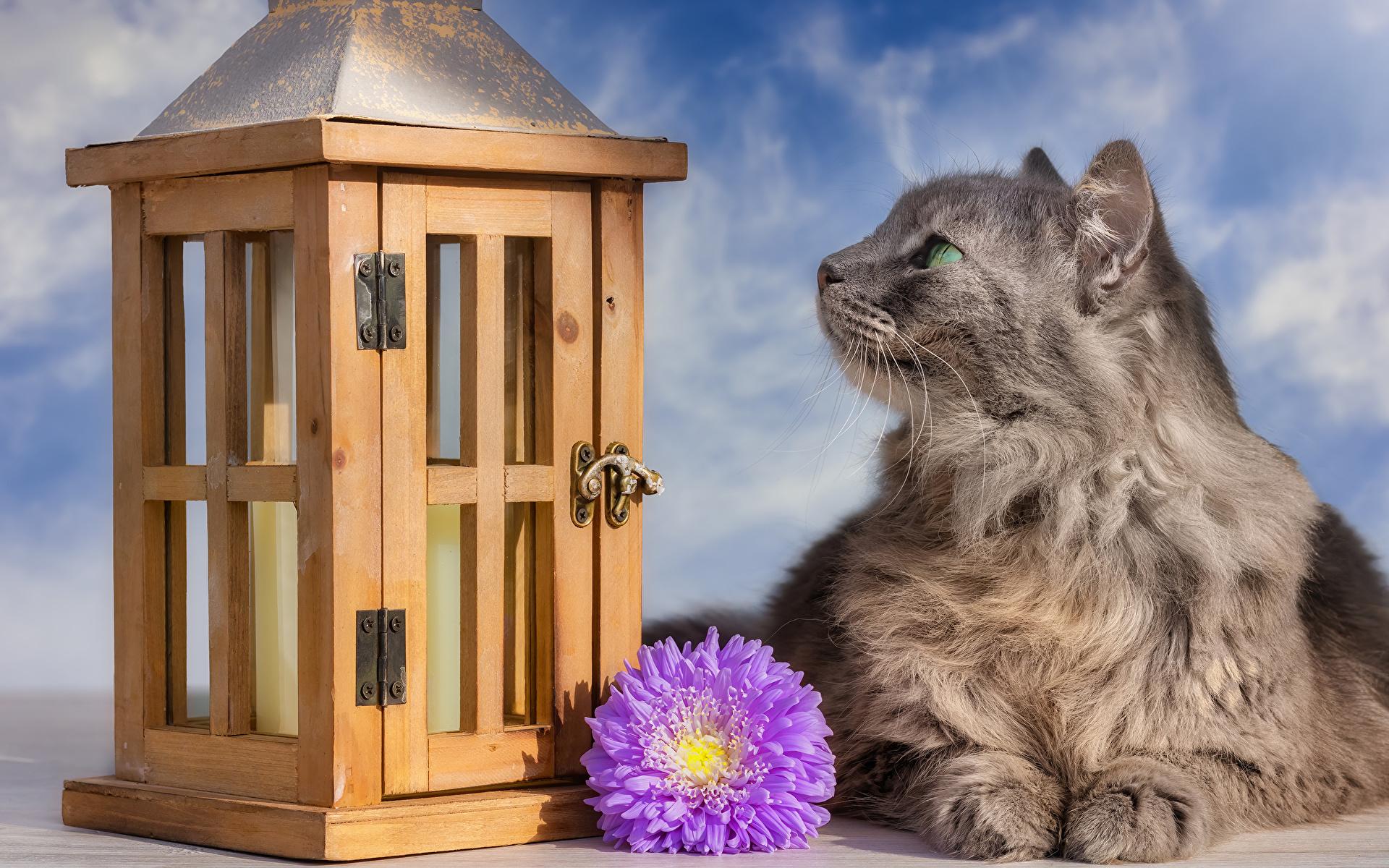 Картинка кот Астры Цветы Животные 1920x1200 коты кошка Кошки цветок животное