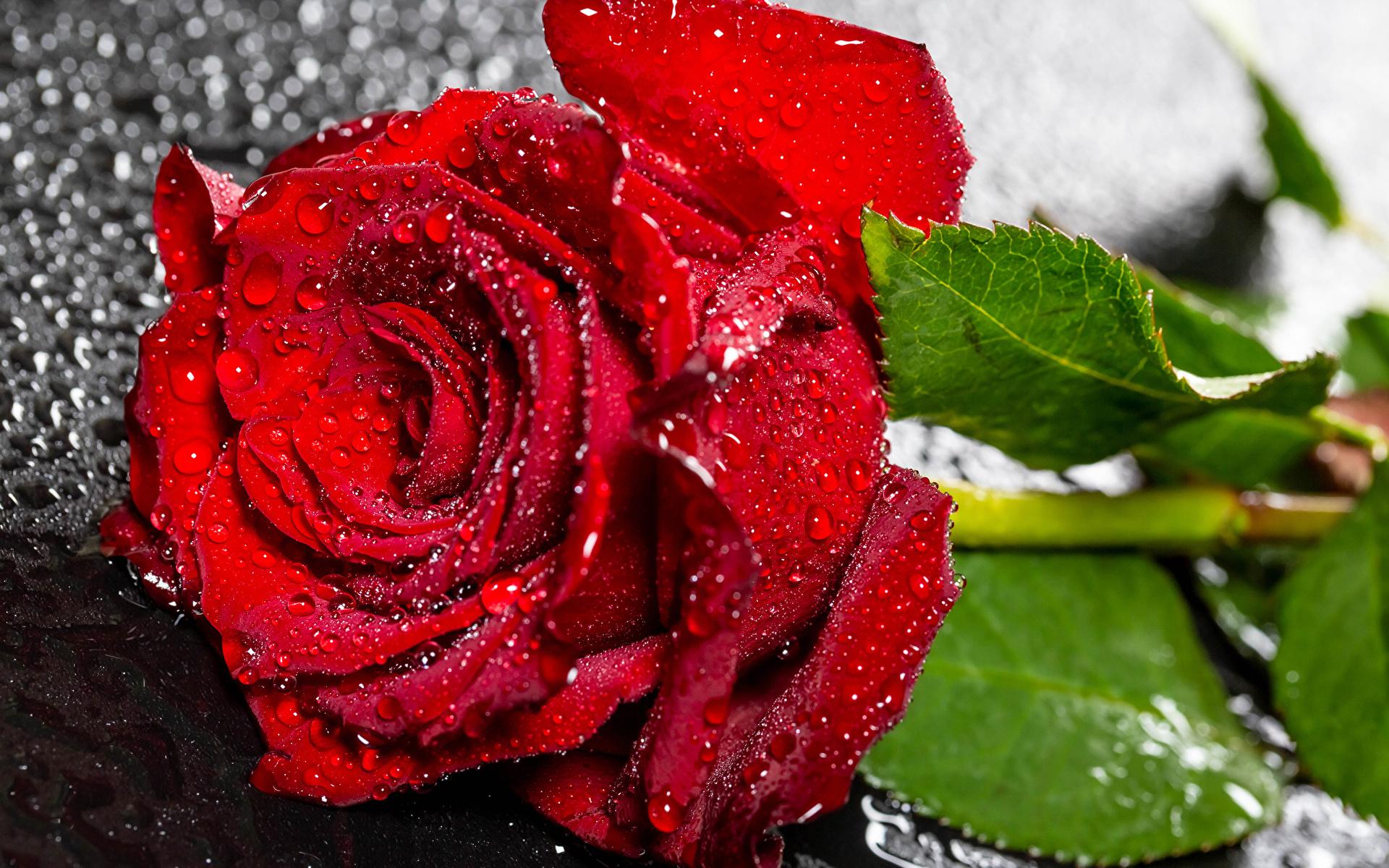 Картинка Розы Красный капля Цветы вблизи 1920x1200 роза красная красные красных Капли капель цветок капельки Крупным планом