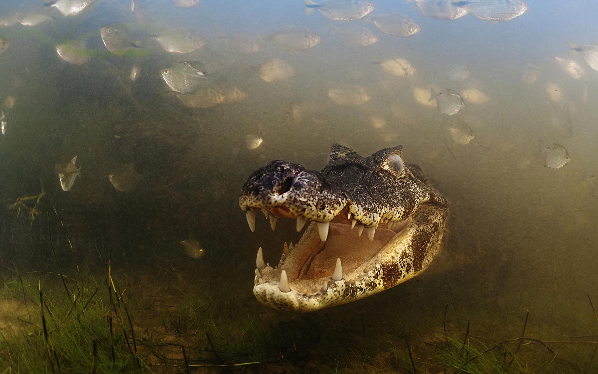 Картинки Крокодилы Подводный мир Животные 1920x1200 крокодил животное