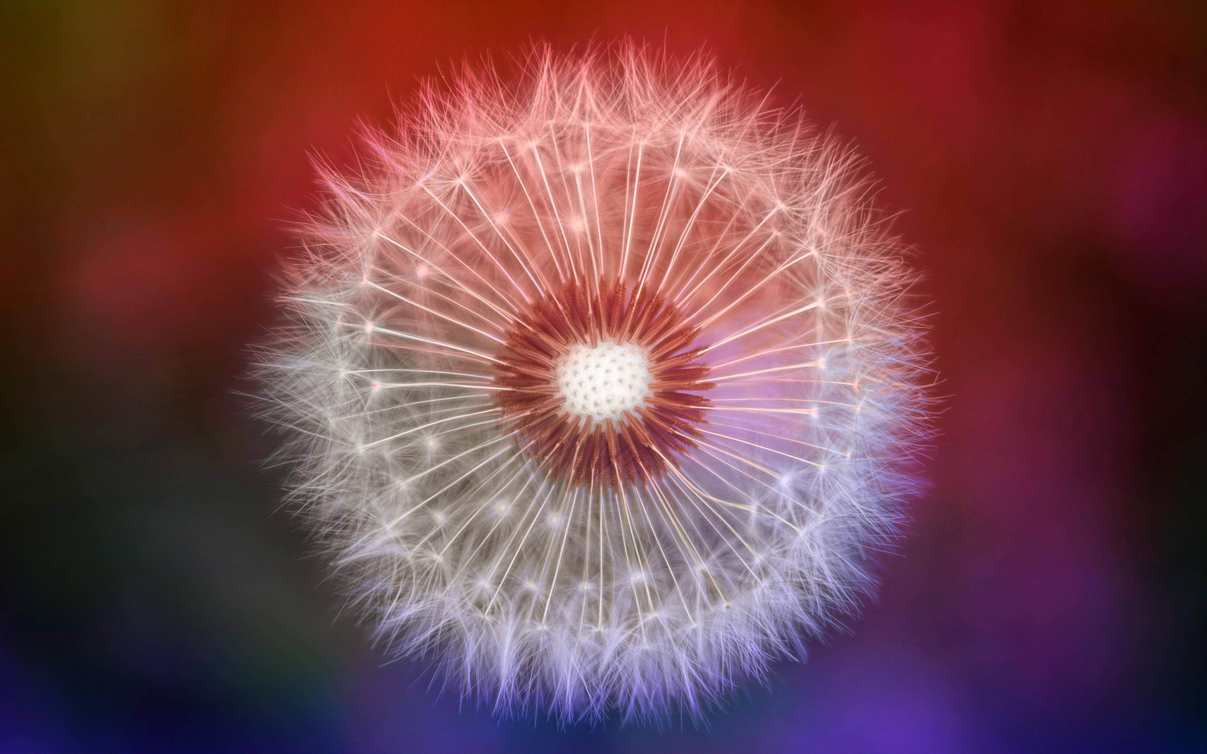 Фотографии by Johannes Plenio цветок Одуванчики Крупным планом 3840x2400 Цветы вблизи