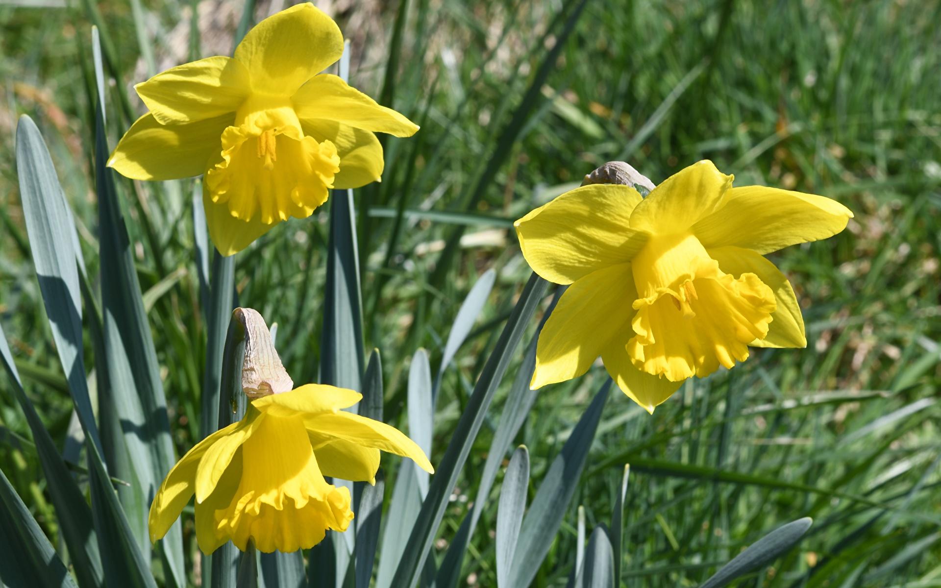 Фото желтая Цветы Нарциссы Крупным планом 1920x1200 Желтый желтые желтых цветок вблизи