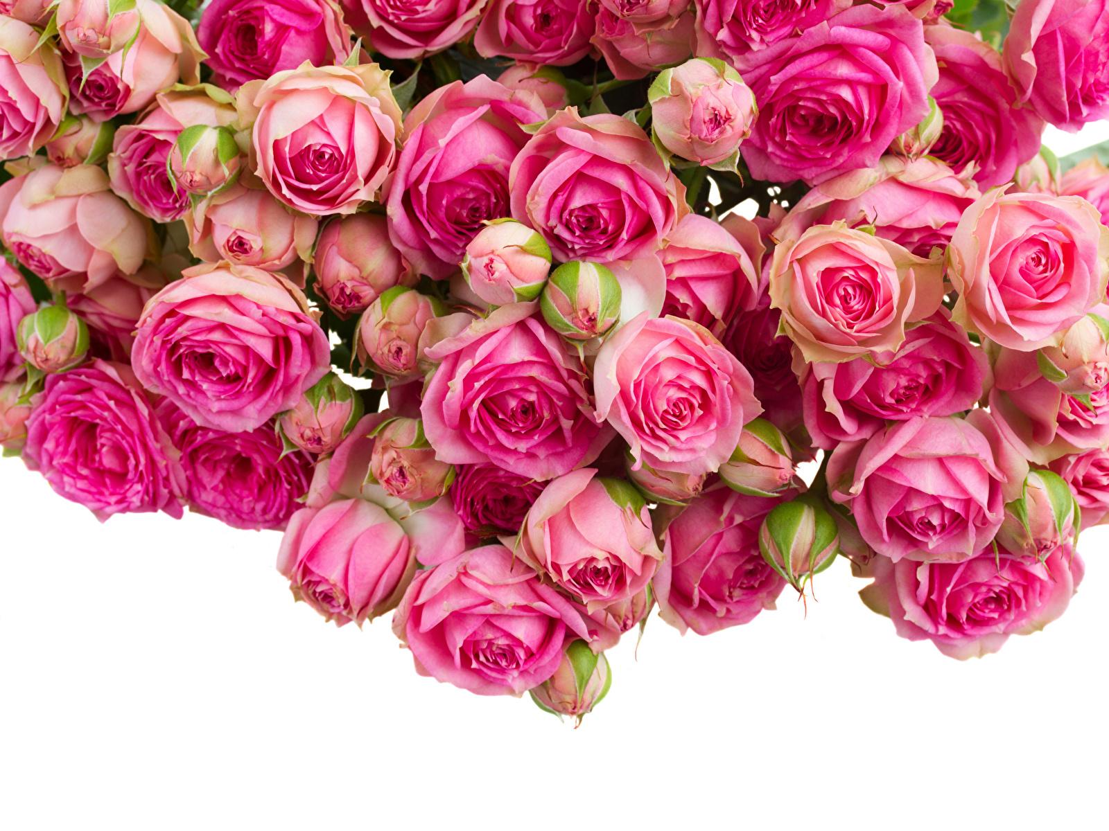 Фотография Розы розовых Цветы Много Бутон 1600x1200 роза розовая розовые Розовый цветок