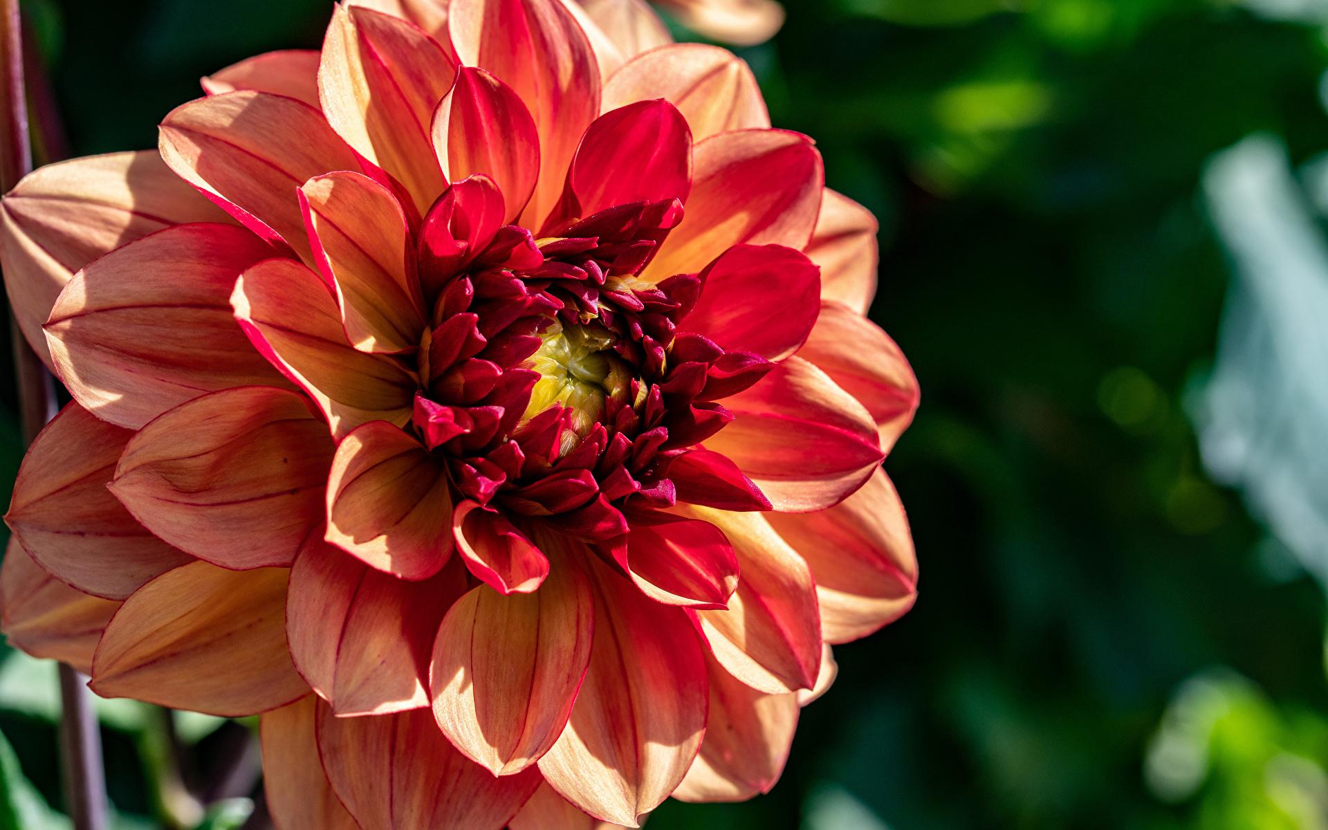 Картинка боке цветок Георгины Крупным планом 1920x1200 Размытый фон Цветы вблизи