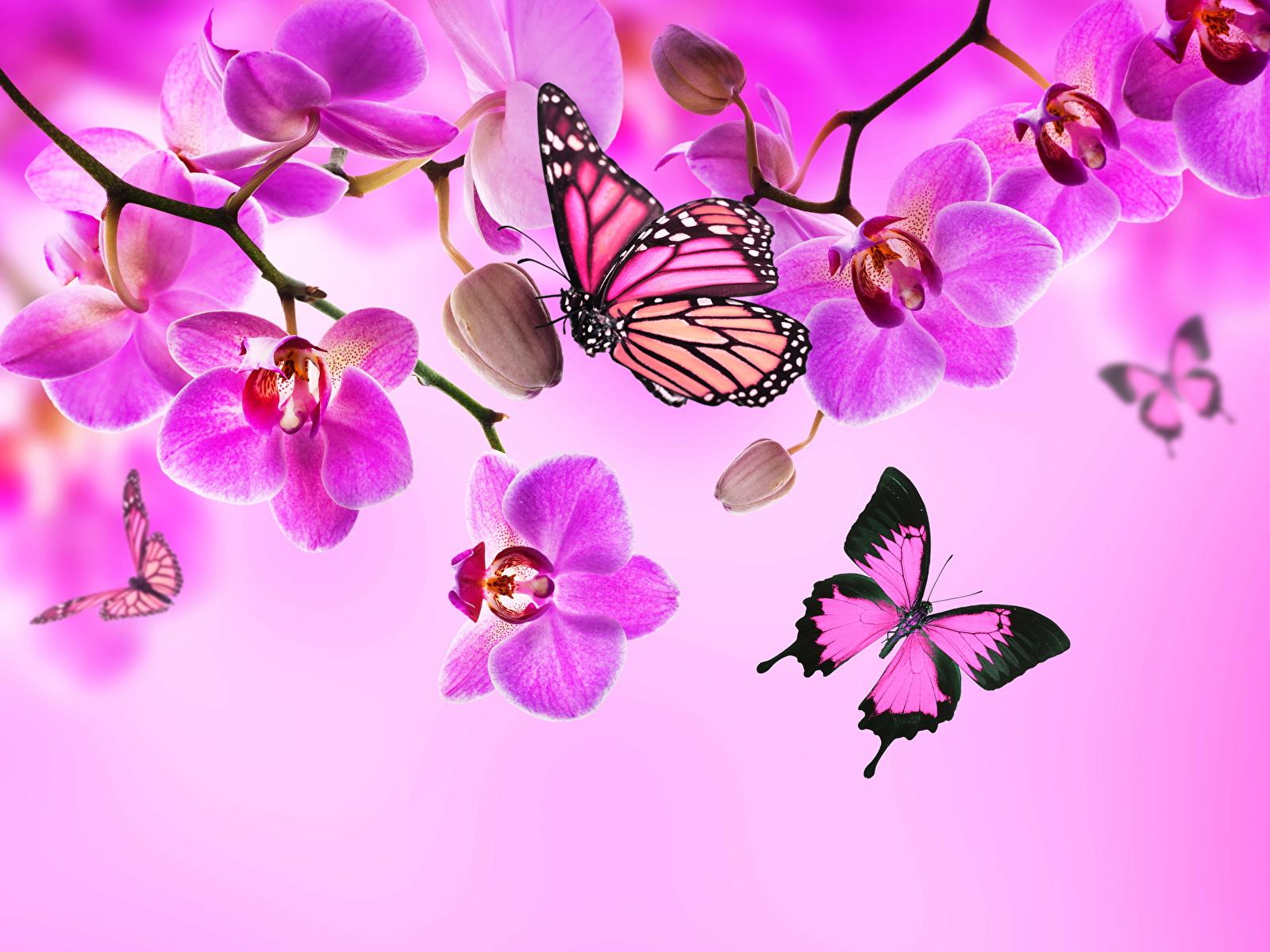 Фотография Данаида монарх Бабочки Орхидеи Розовый Цветы 1600x1200