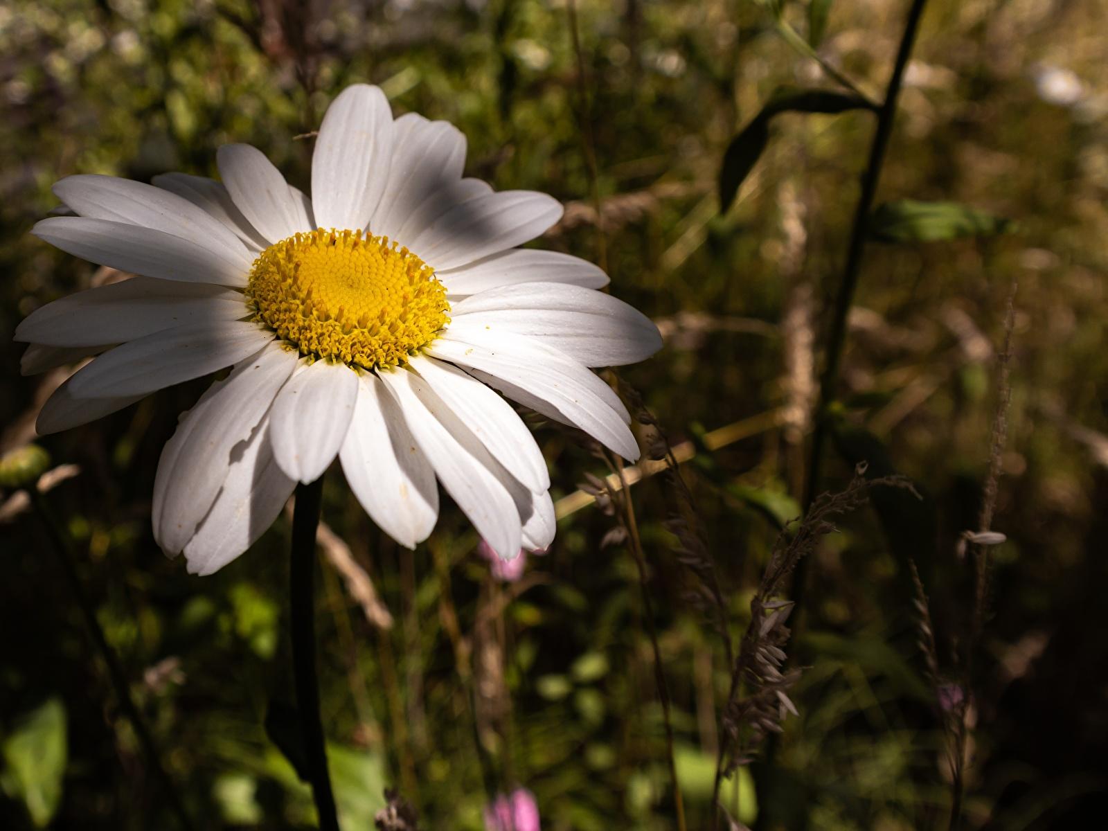 Фотографии Размытый фон Цветы Ромашки Крупным планом 1600x1200 боке цветок ромашка вблизи