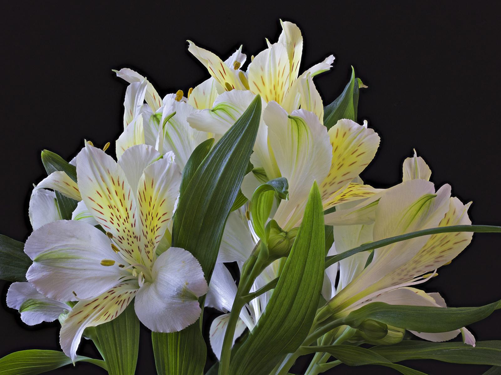 Фото Белый Цветы Альстрёмерия на черном фоне Крупным планом 1600x1200 белых белые белая цветок вблизи Черный фон
