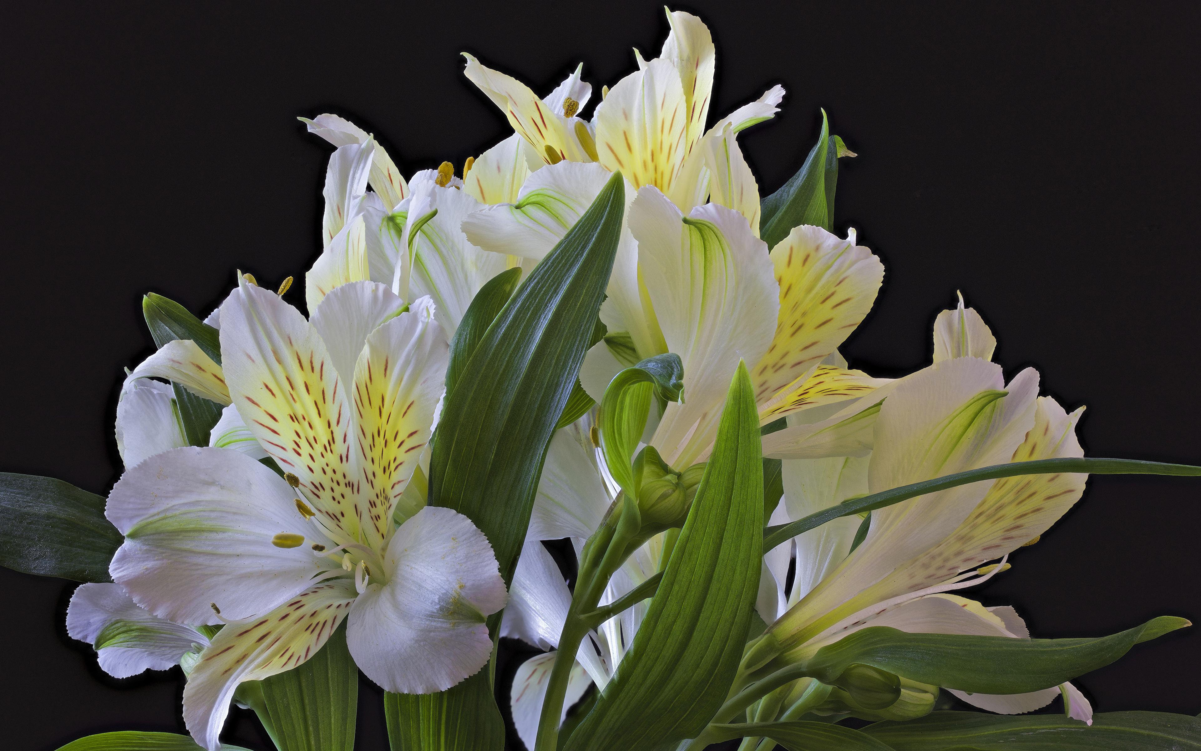 Фото Белый Цветы Альстрёмерия на черном фоне Крупным планом 3840x2400 белых белые белая цветок вблизи Черный фон