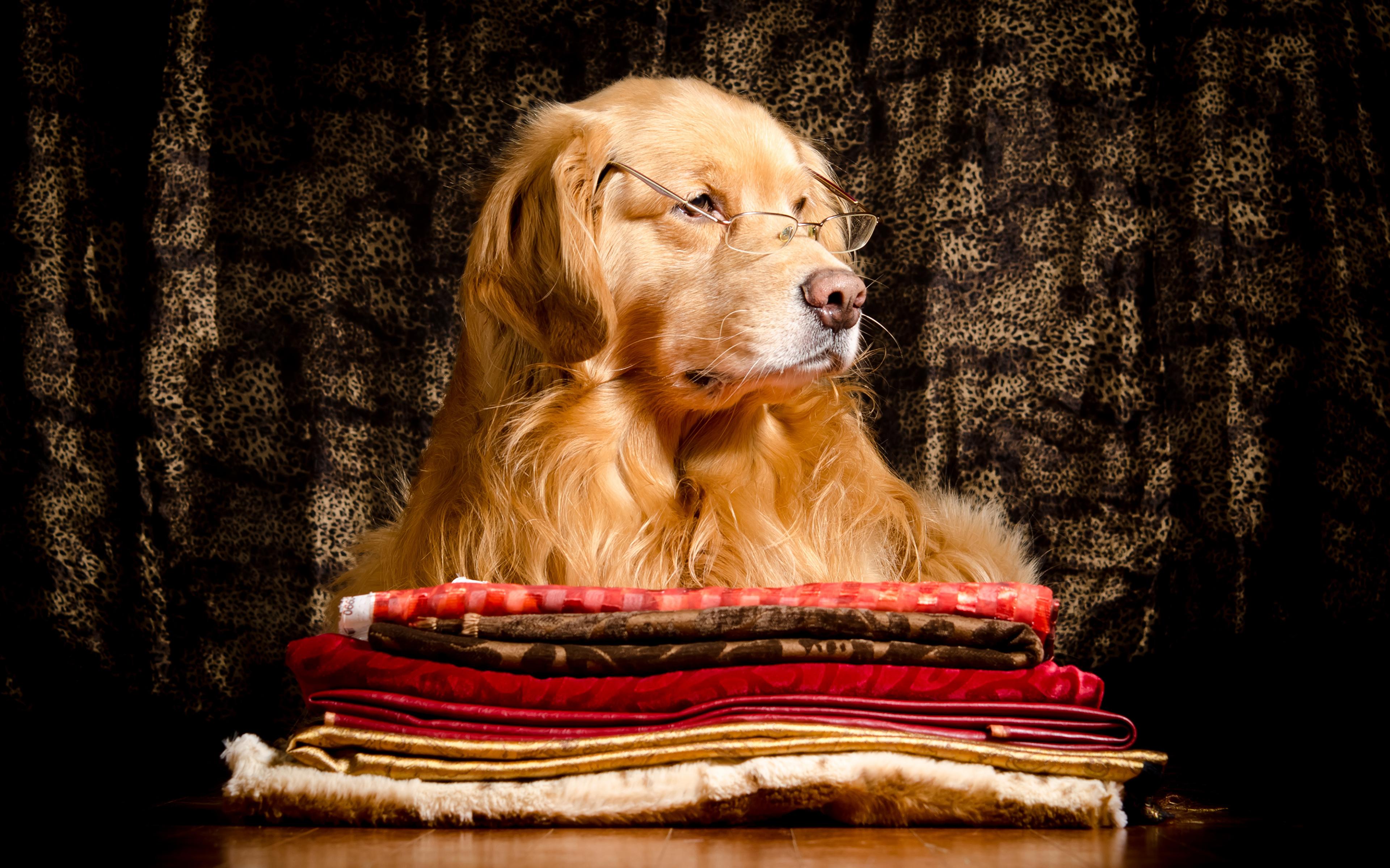 Фотография Золотистый ретривер Собаки очков животное 3840x2400 собака Очки очках Животные