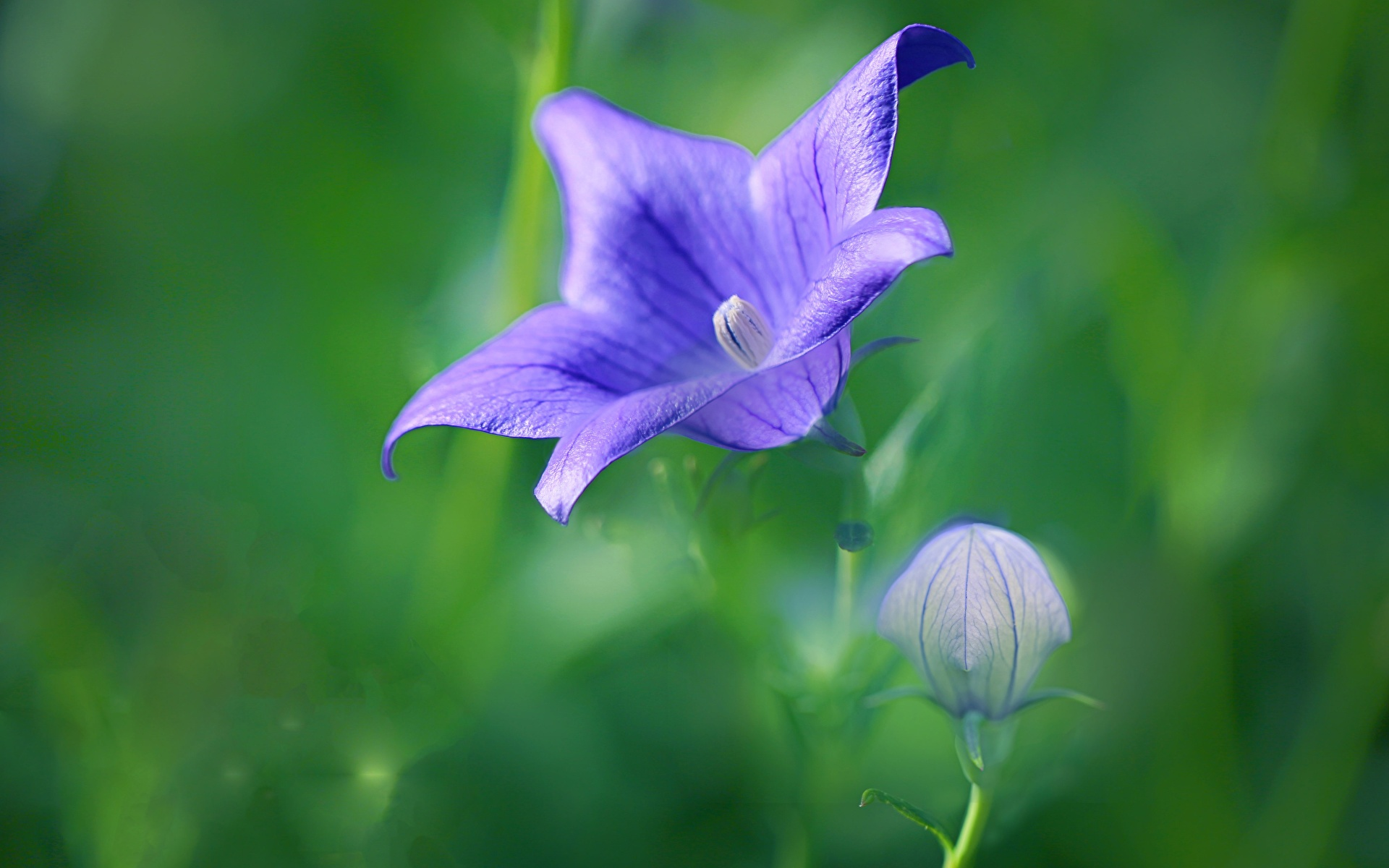 Фото боке фиолетовых цветок колокольчик Бутон Крупным планом 1920x1200 Размытый фон фиолетовая фиолетовые Фиолетовый Цветы Колокольчики вблизи