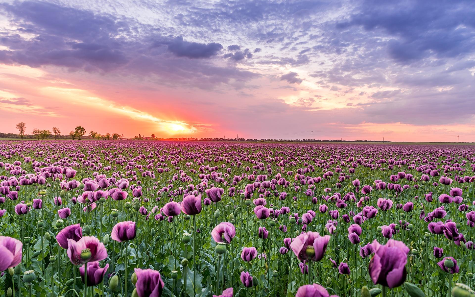 Картинка Природа Поля Маки Цветы Рассветы и закаты 1920x1200