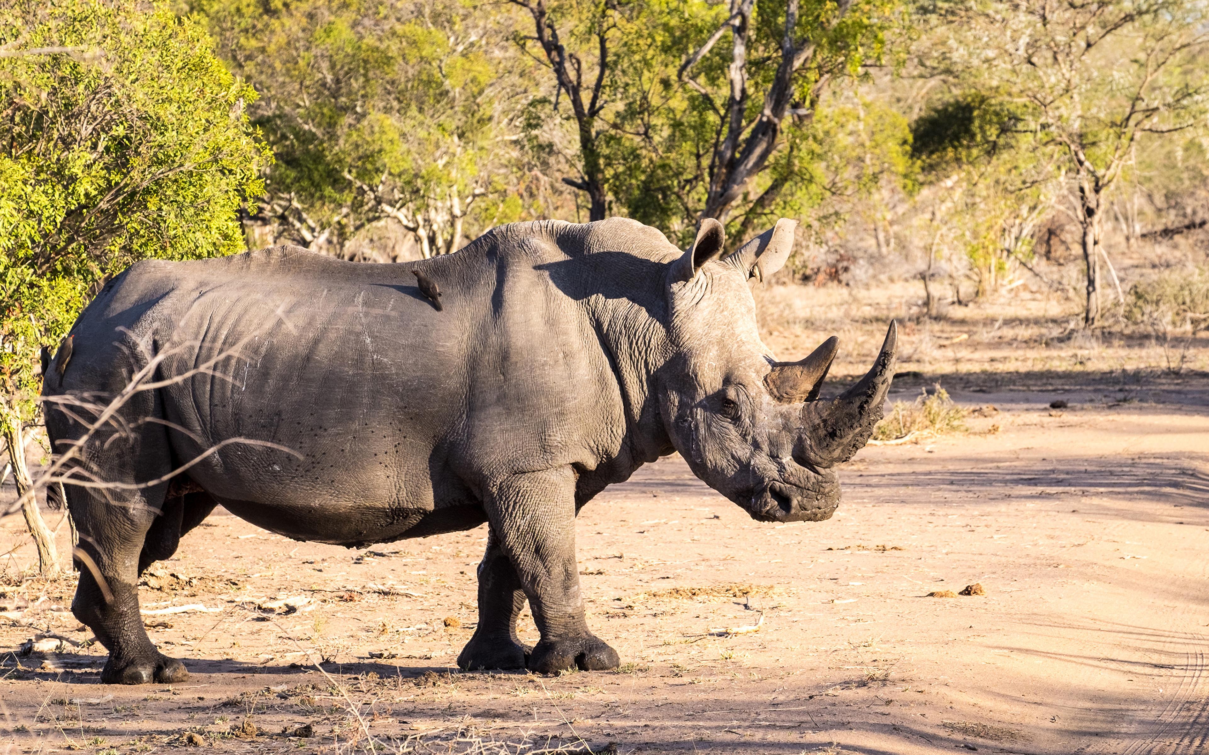 Обои носороги. Животные foto 13
