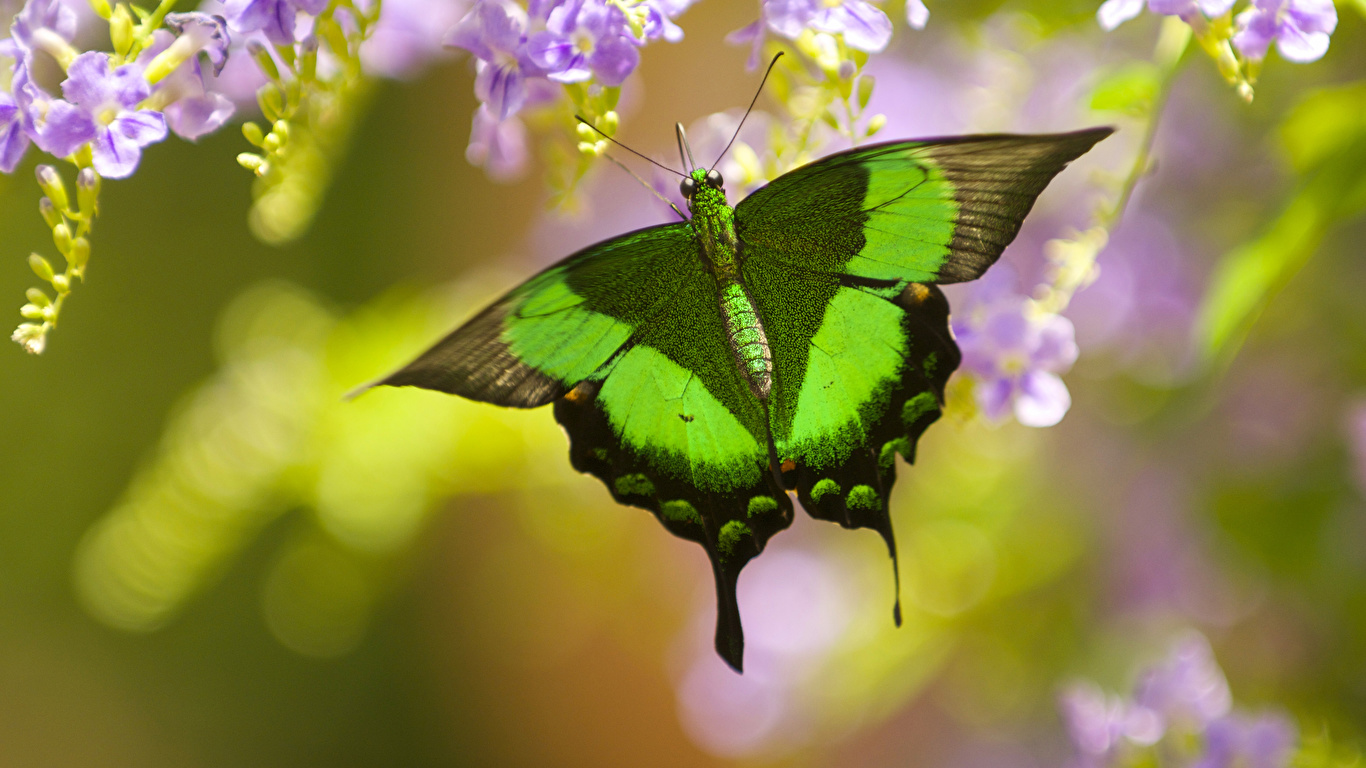 Картинка Бабочки Papilio palinurus Животные Крупным планом 1366x768 бабочка вблизи животное