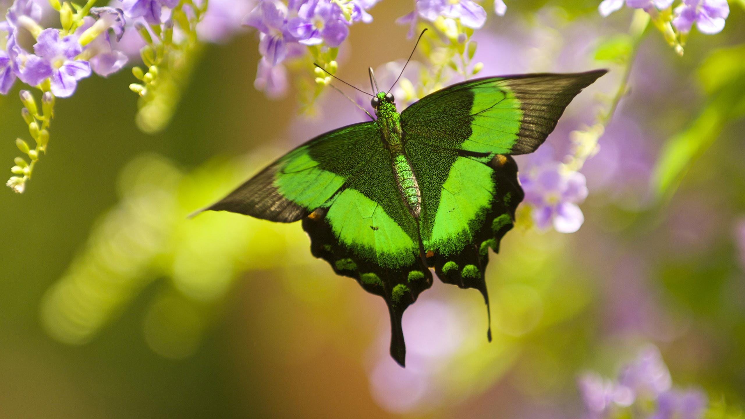 Картинка Бабочки Papilio palinurus Животные Крупным планом 2560x1440 бабочка вблизи животное