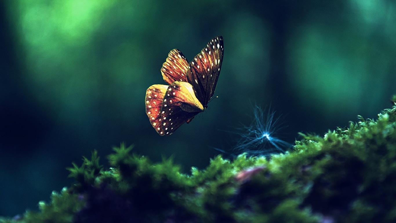 Фотографии Бабочки насекомое животное 1366x768 бабочка Насекомые Животные