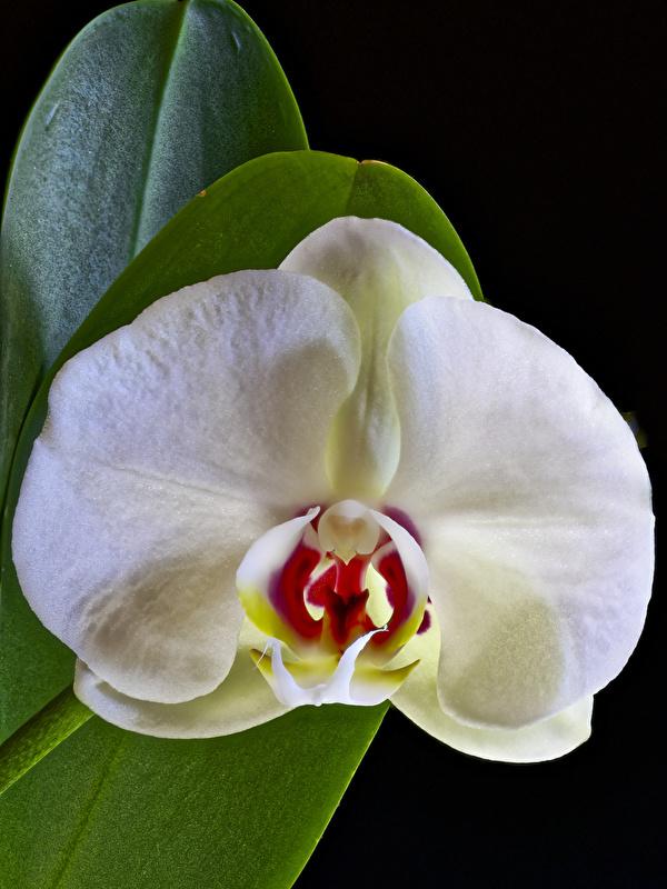 Картинка белая Орхидеи Цветы Черный фон Крупным планом 600x800 для мобильного телефона белые Белый белых орхидея цветок вблизи на черном фоне