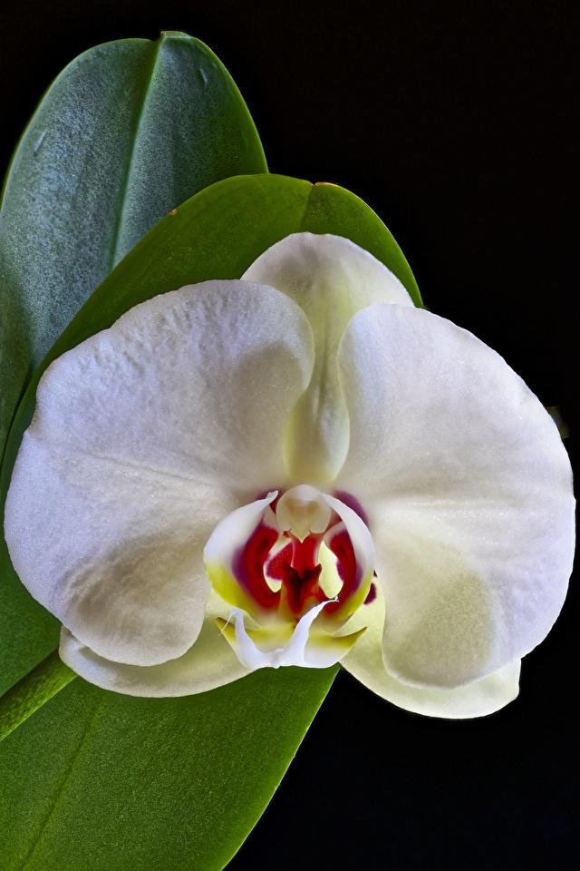 Картинка белая Орхидеи Цветы Черный фон Крупным планом 640x960 для мобильного телефона белые Белый белых орхидея цветок вблизи на черном фоне