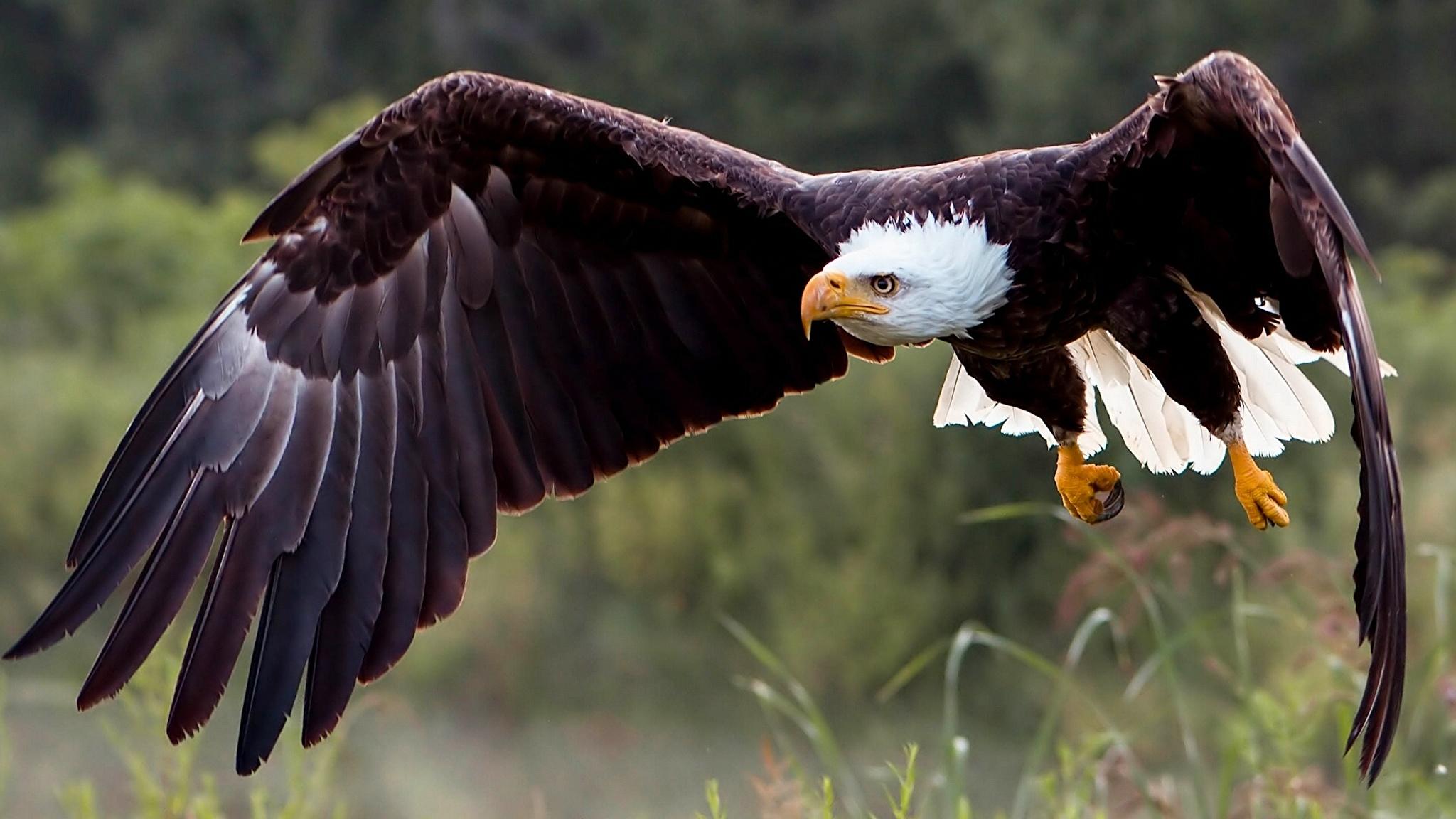 природа животные птицы белоплечий орлан в хорошем качестве