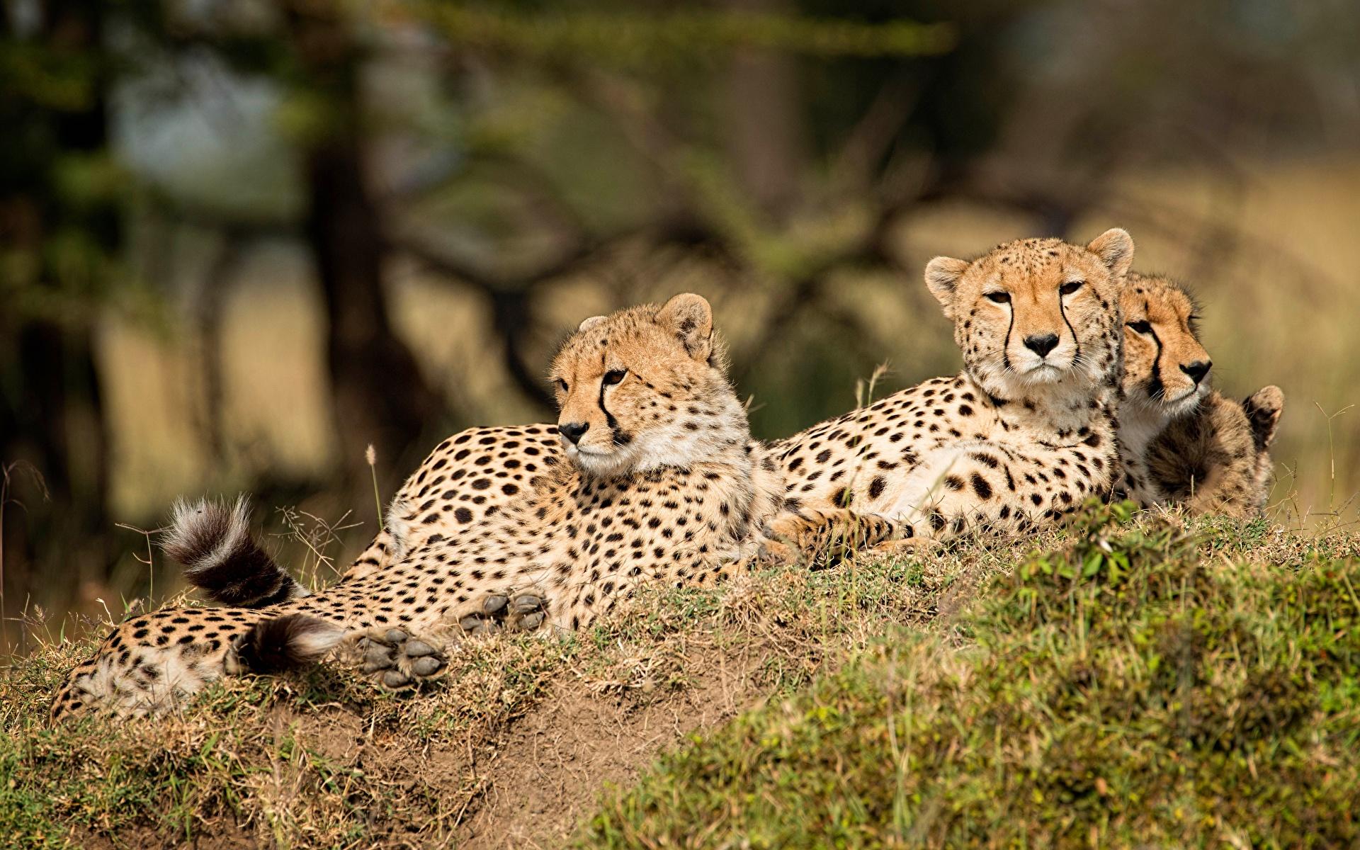 Фотографии Леопарды втроем животное 1920x1200 леопард три Трое 3 Животные