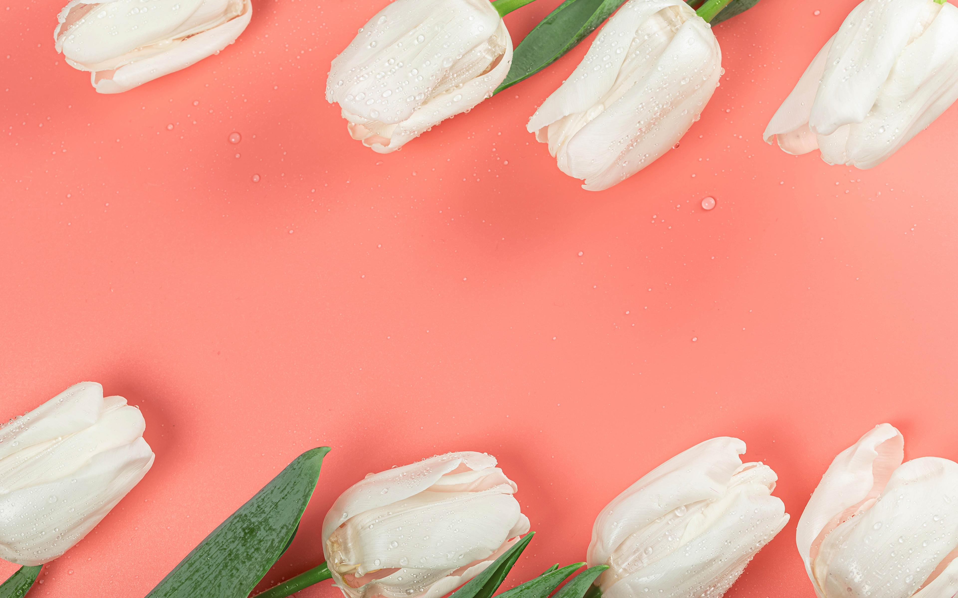 Картинки белые Тюльпаны Цветы капель Цветной фон 3840x2400 Белый белая белых тюльпан капля Капли цветок капельки