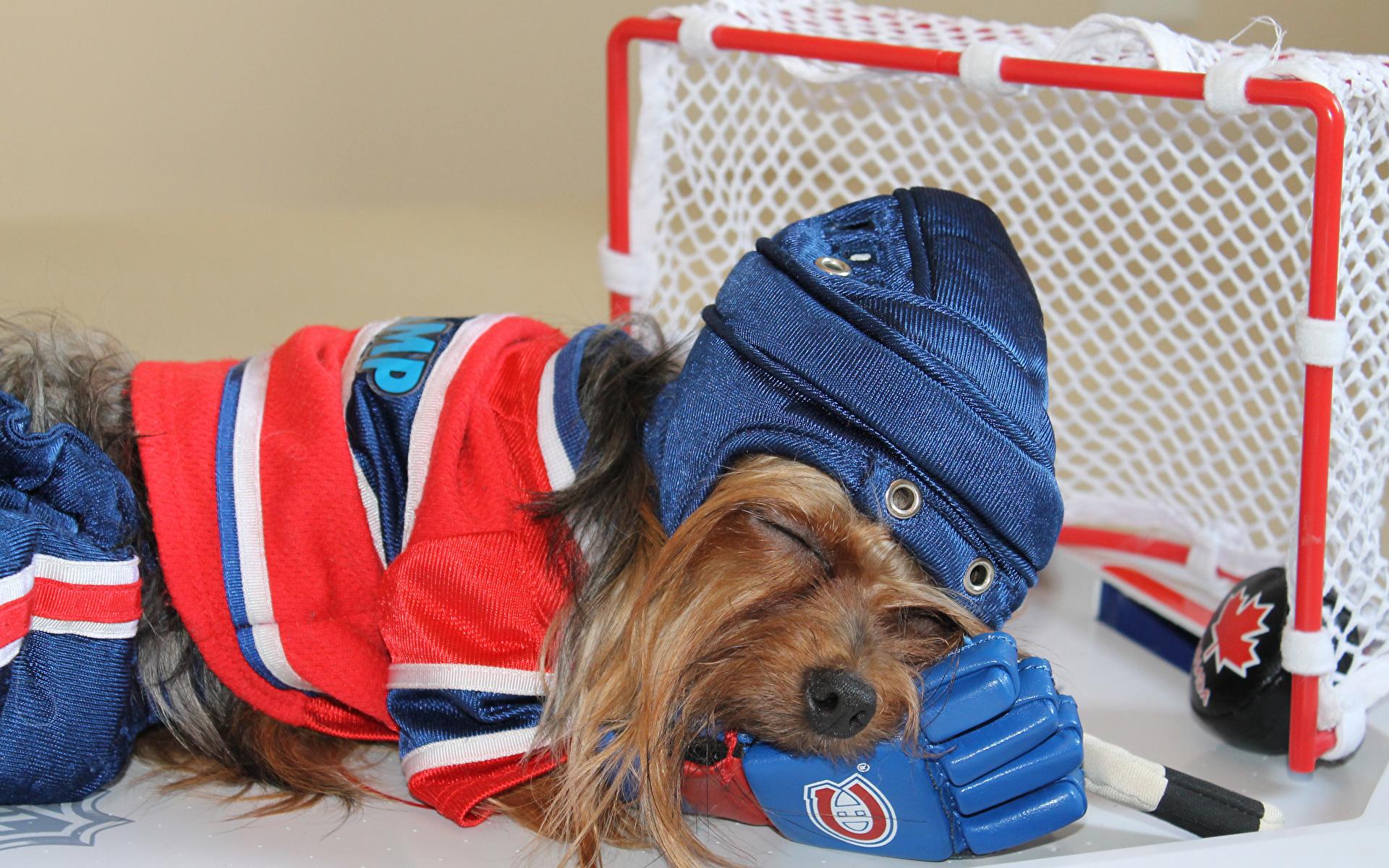 Фотографии Йоркширский терьер Собаки Хоккей униформе Животные 1920x1200 собака Униформа животное