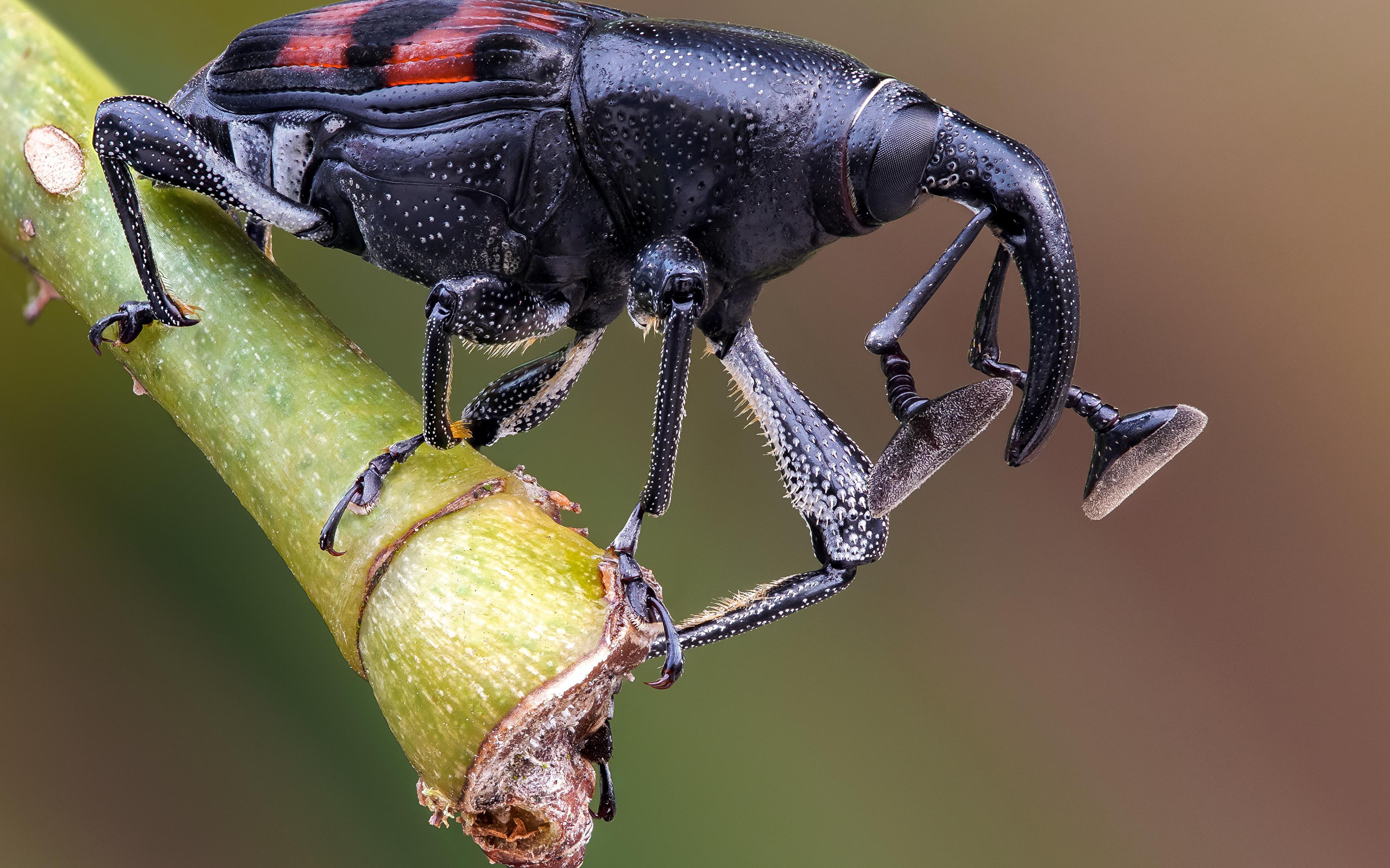 Обои для рабочего стола Жуки насекомое weevil вблизи животное 3840x2400 Насекомые Животные Крупным планом
