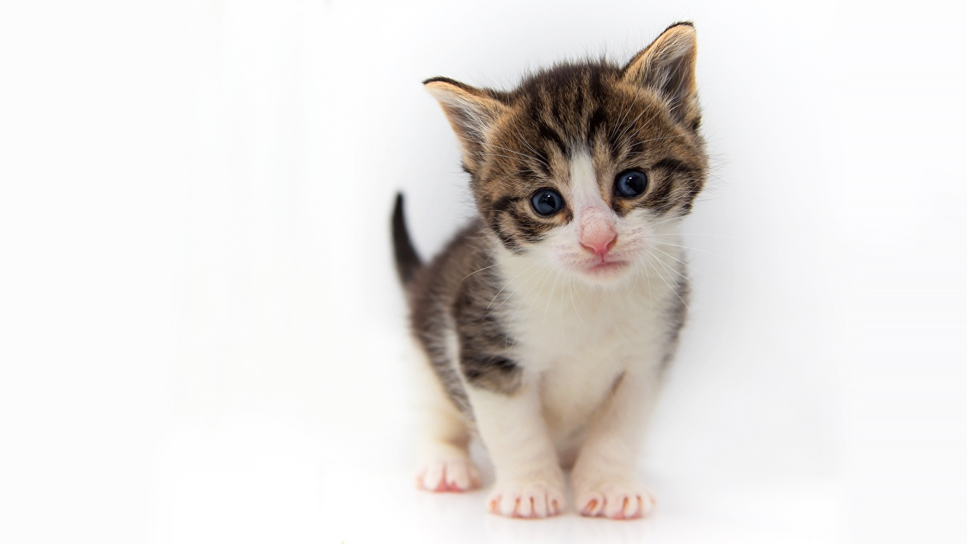 Обои для рабочего стола Котята кошка Взгляд животное Белый фон 1366x768 котят котенок котенка кот коты Кошки смотрит смотрят Животные белом фоне белым фоном