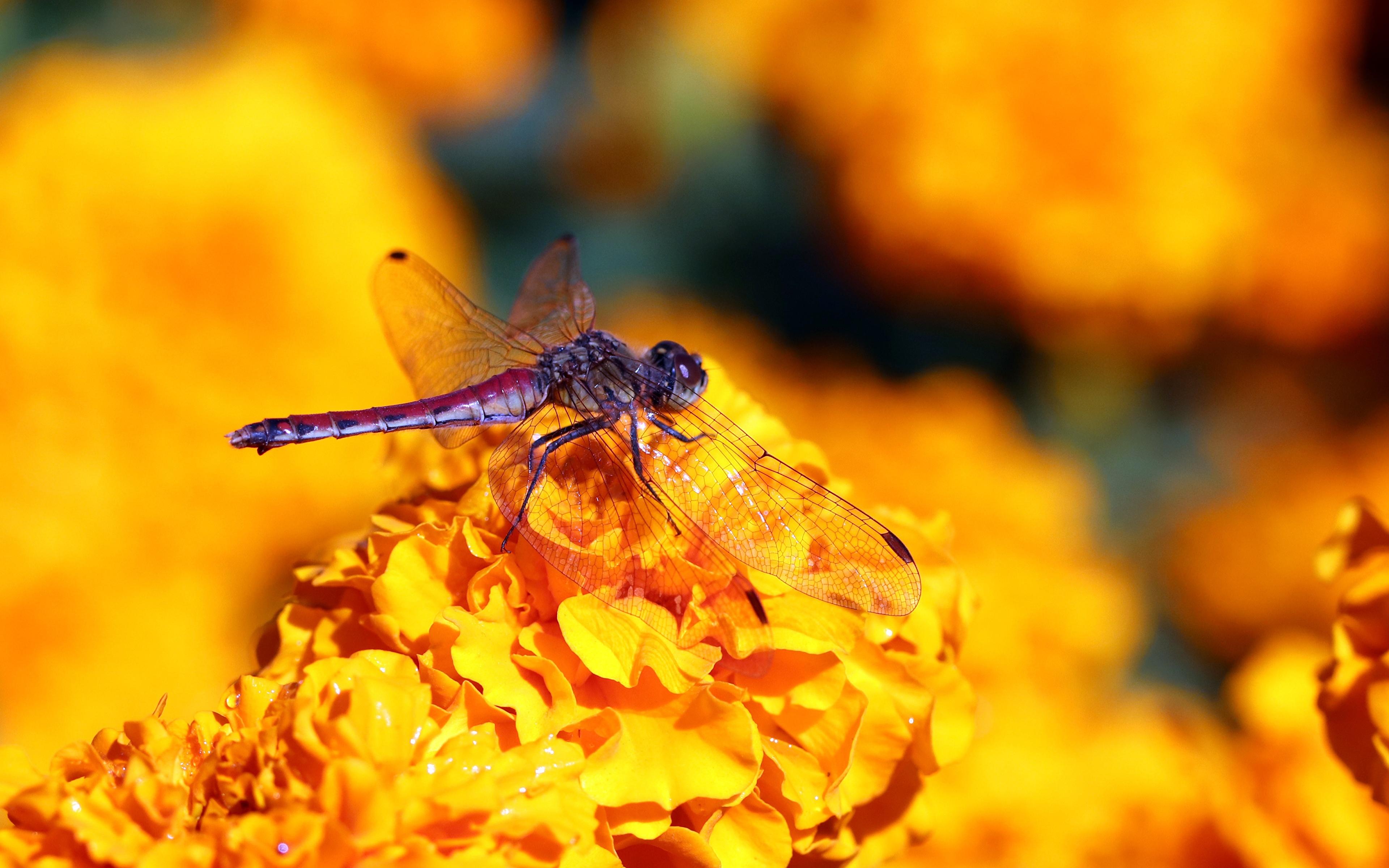Фотографии Стрекозы Насекомые боке Животные Крупным планом 3840x2400 насекомое Размытый фон вблизи животное