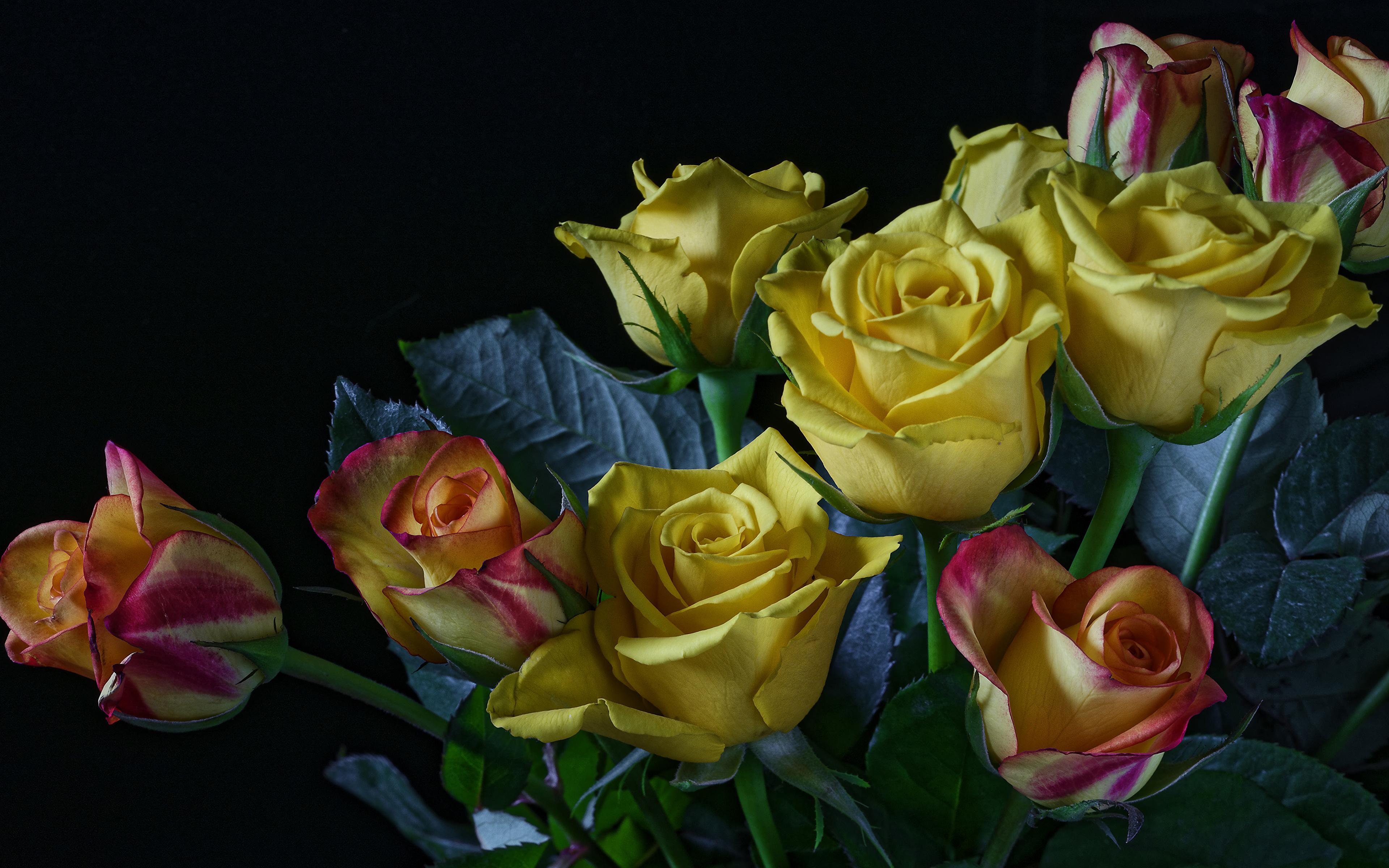 Обои для рабочего стола Розы Желтый Цветы Черный фон 3840x2400 роза желтых желтая желтые цветок на черном фоне