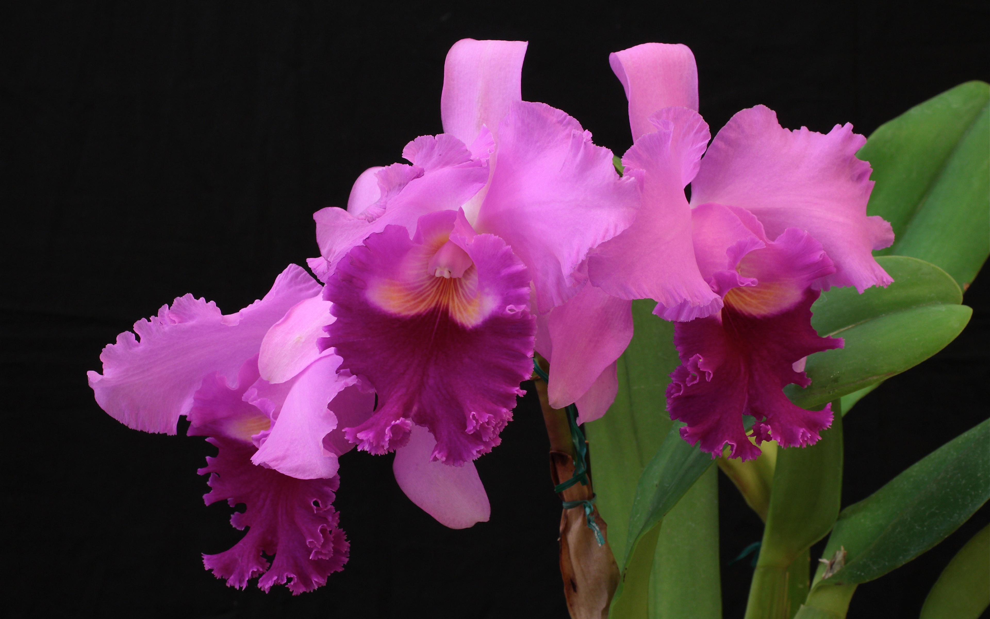 Фото розовая Орхидеи Цветы Черный фон Крупным планом 3840x2400 розовых розовые Розовый орхидея цветок вблизи на черном фоне