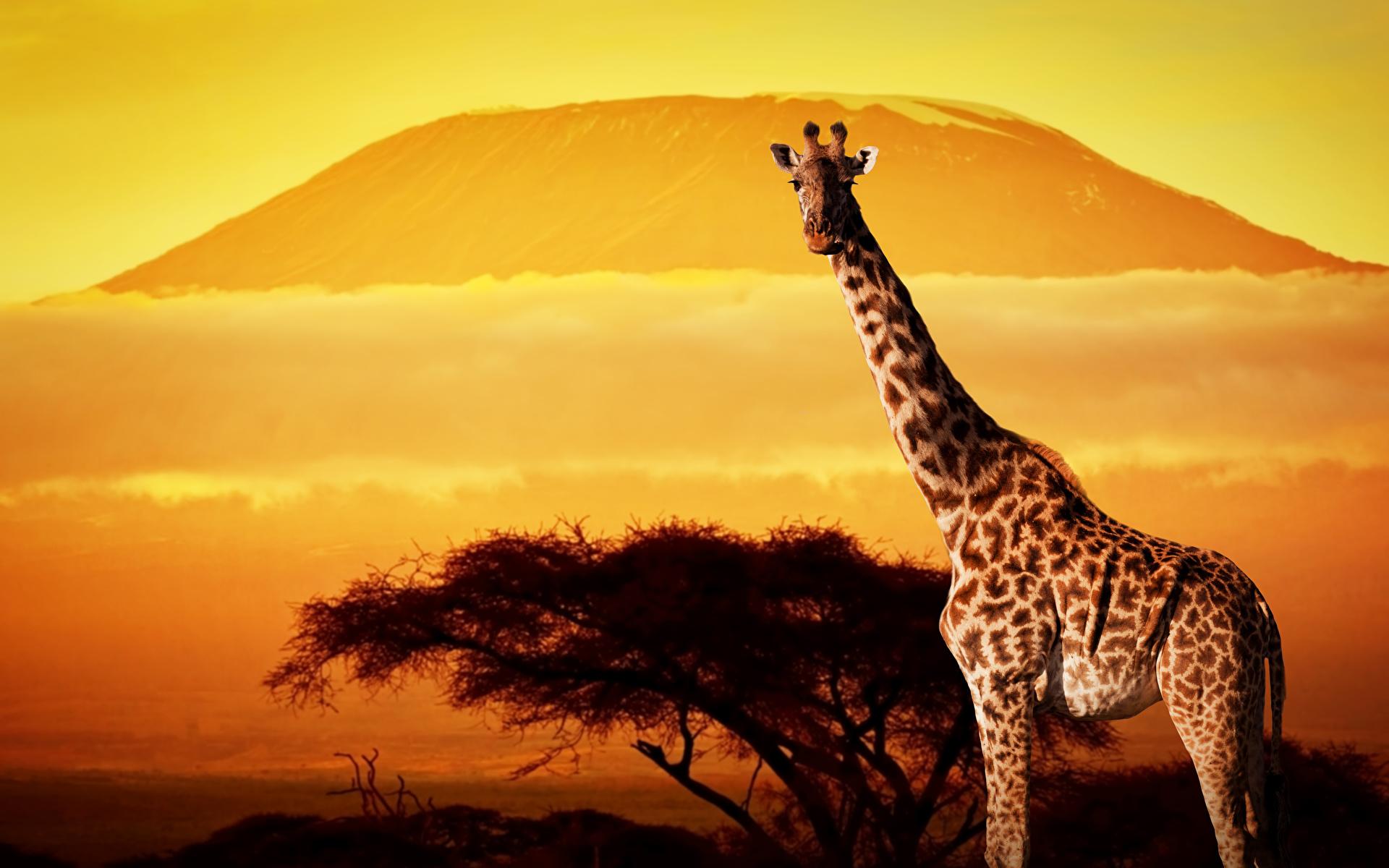 Фото Жирафы Животные 1920x1200 жираф животное