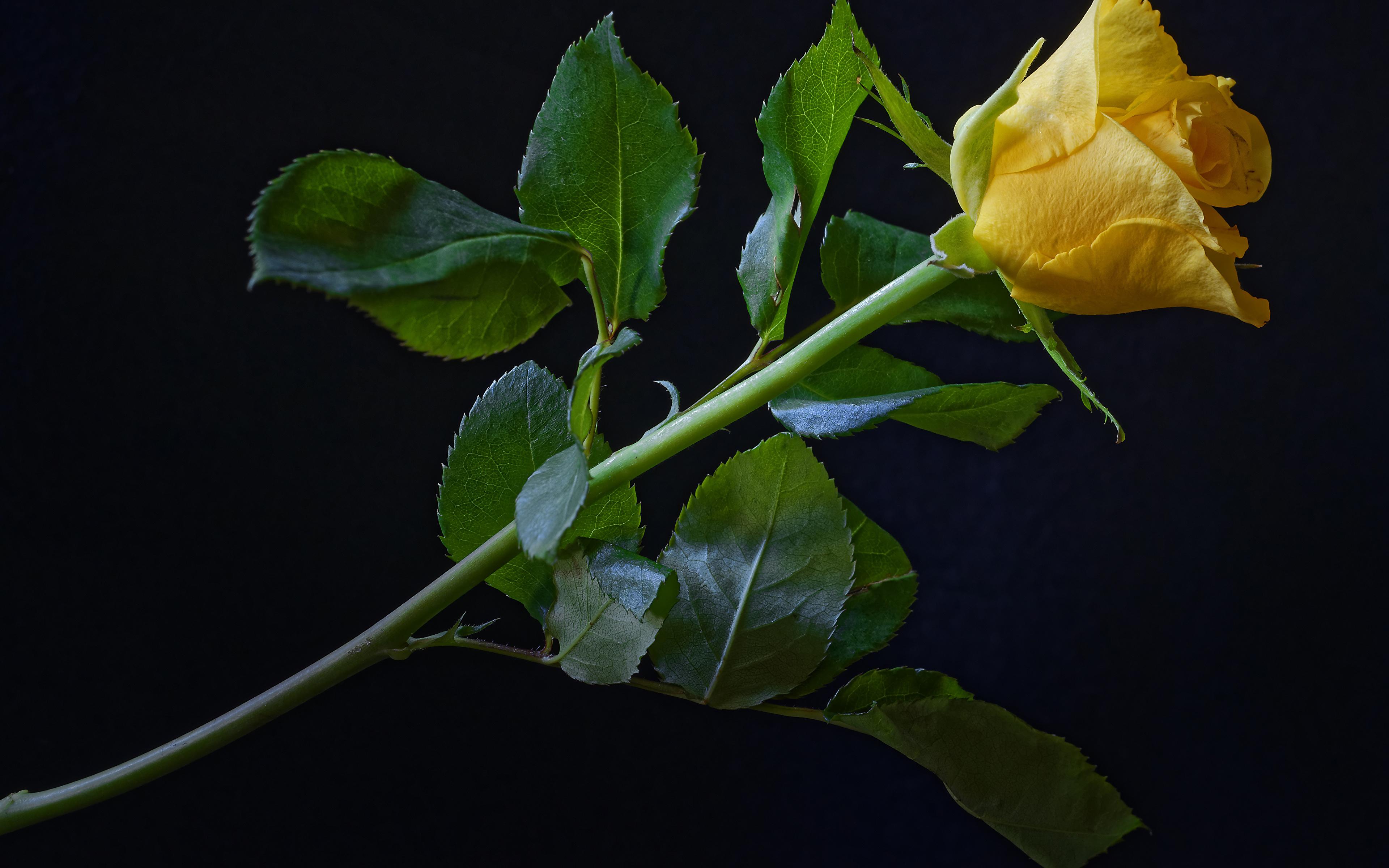 Картинки Розы Желтый Цветы Черный фон Крупным планом 3840x2400 вблизи