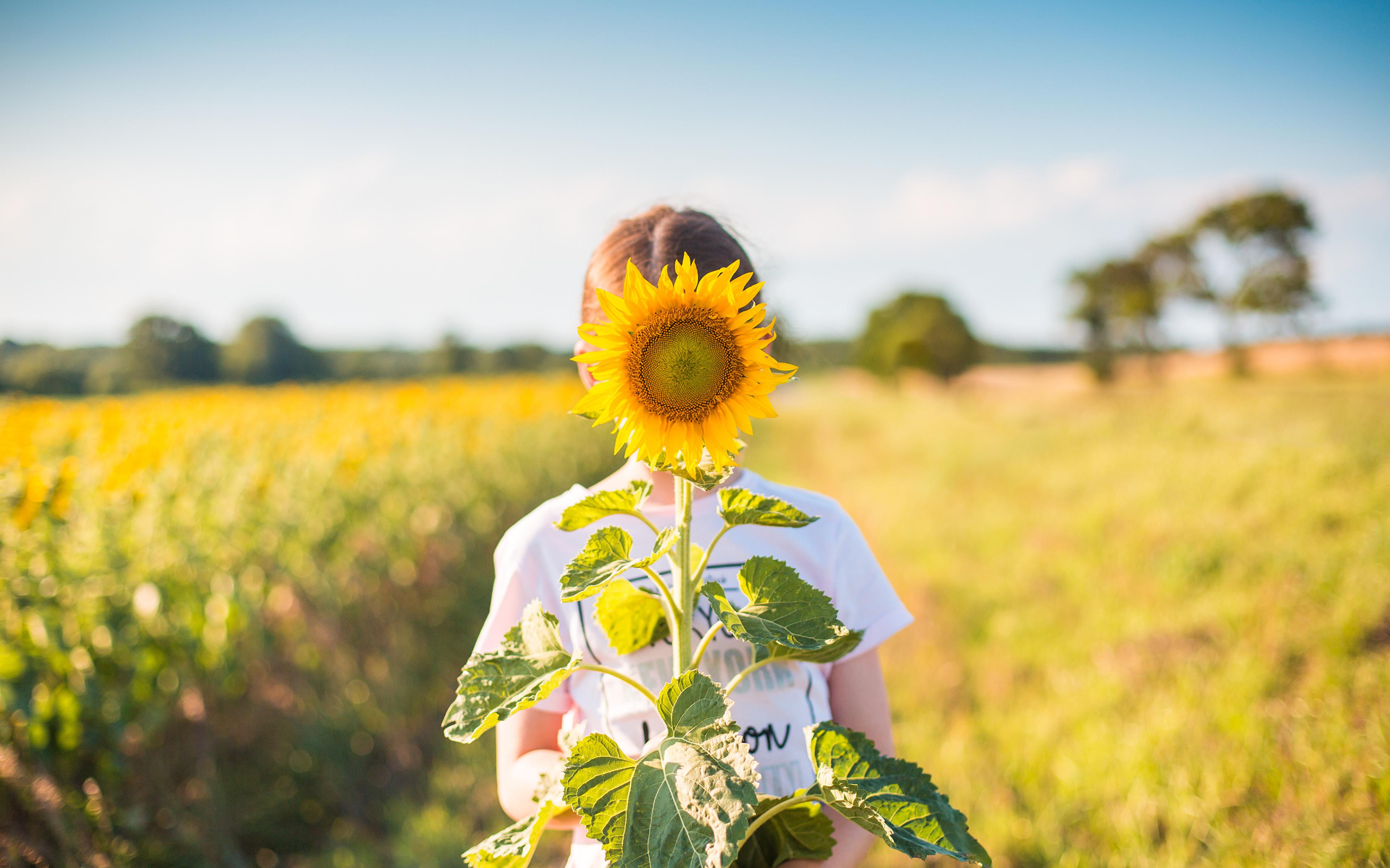 Фотографии Размытый фон Поля Цветы Подсолнечник 3840x2400 боке цветок Подсолнухи