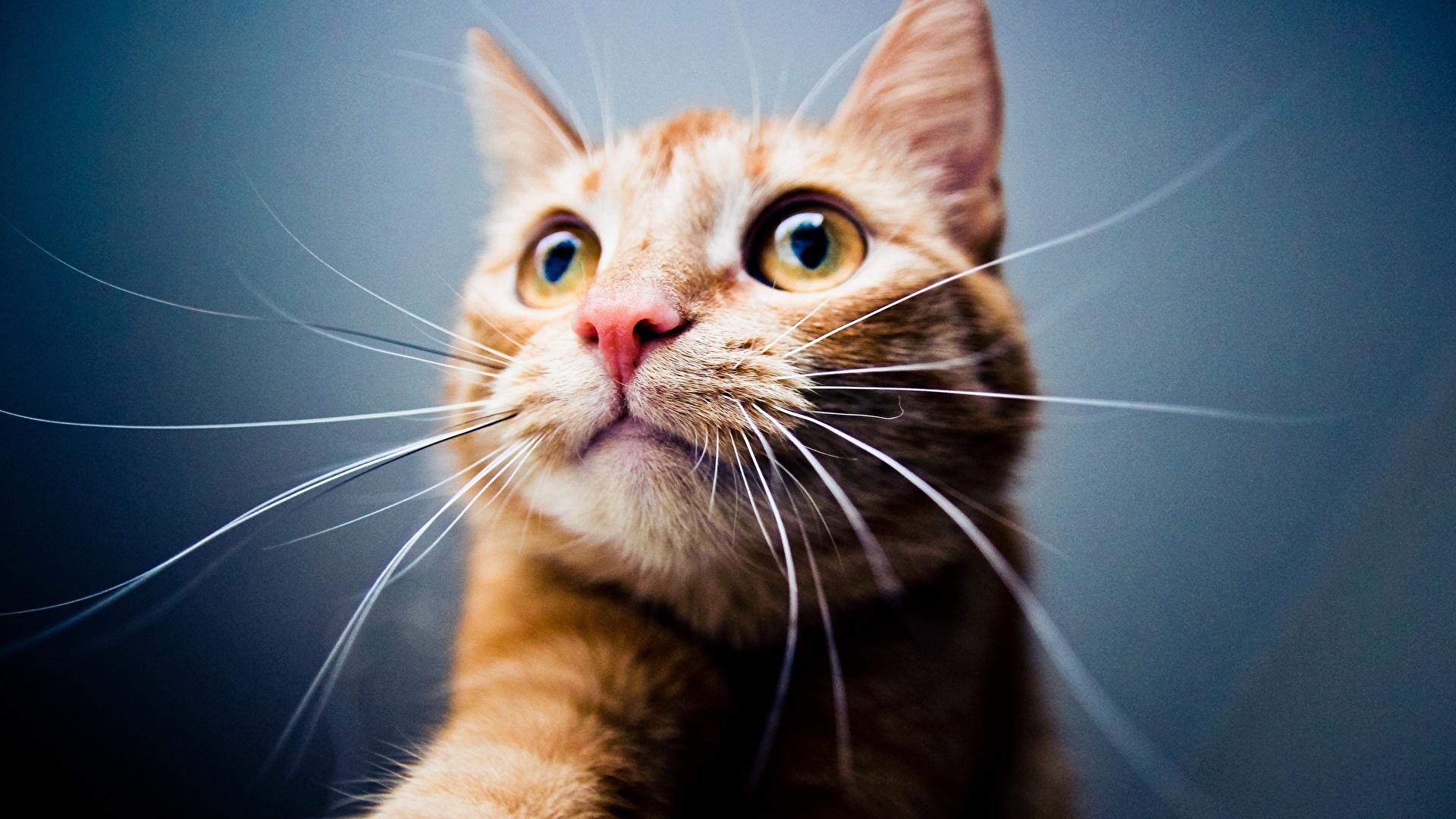 Картинки кошка Усы Вибриссы морды Голова смотрят животное 1920x1080 кот коты Кошки Морда головы Взгляд смотрит Животные