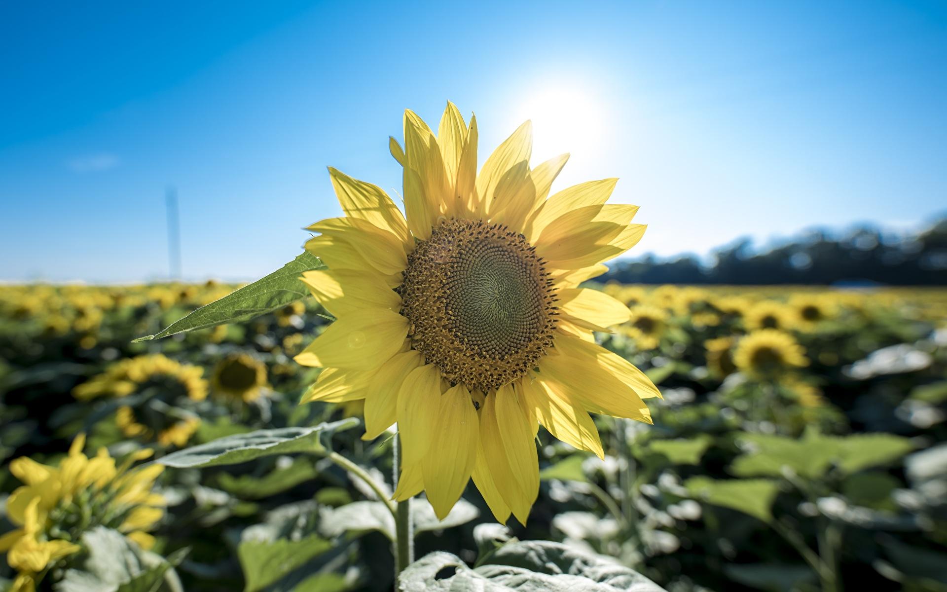 Фотография желтая цветок Подсолнечник Крупным планом 1920x1200 Желтый желтые желтых Цветы Подсолнухи вблизи