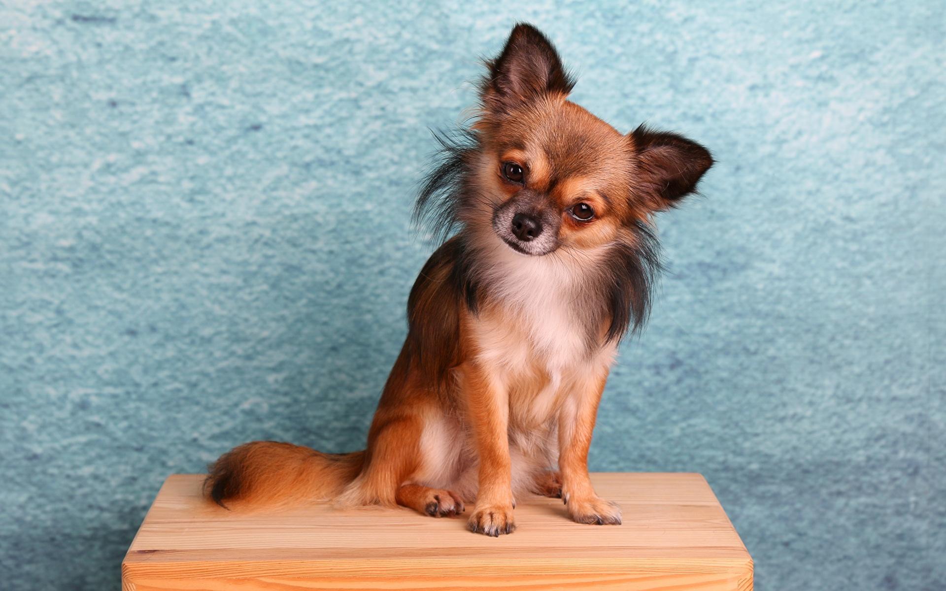 Картинки Чихуахуа Собаки сидя Животные 1920x1200 собака Сидит сидящие животное