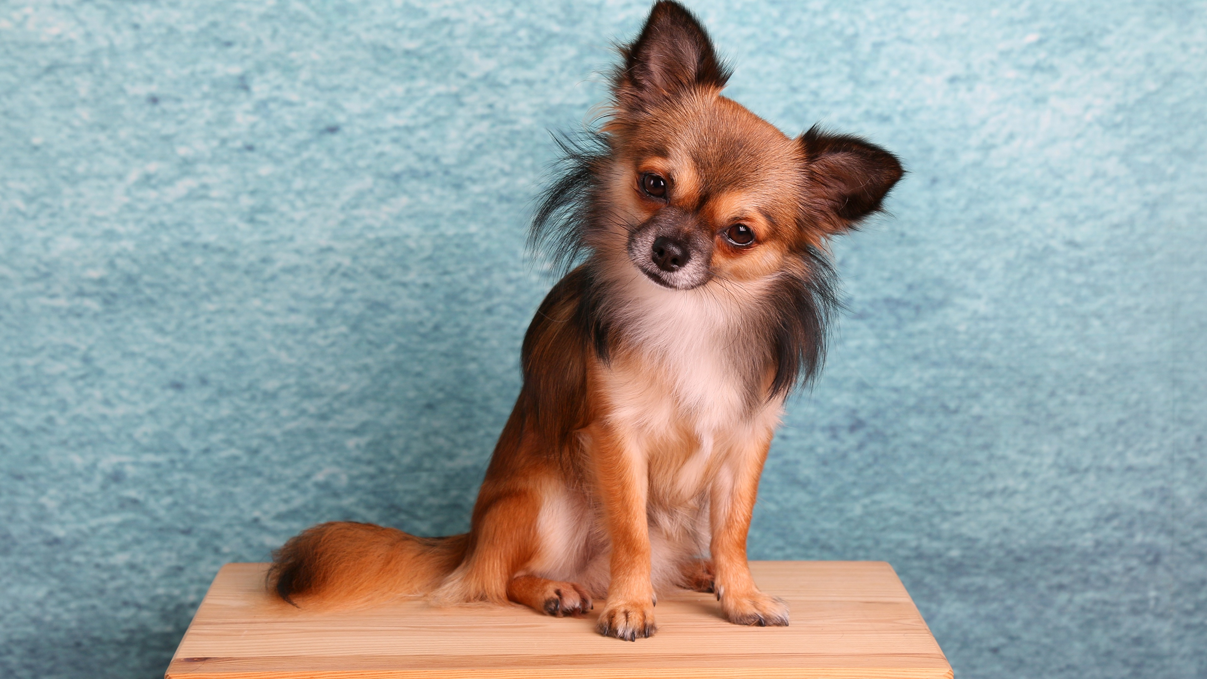 Картинки Чихуахуа Собаки сидя Животные 3840x2160 собака Сидит сидящие животное