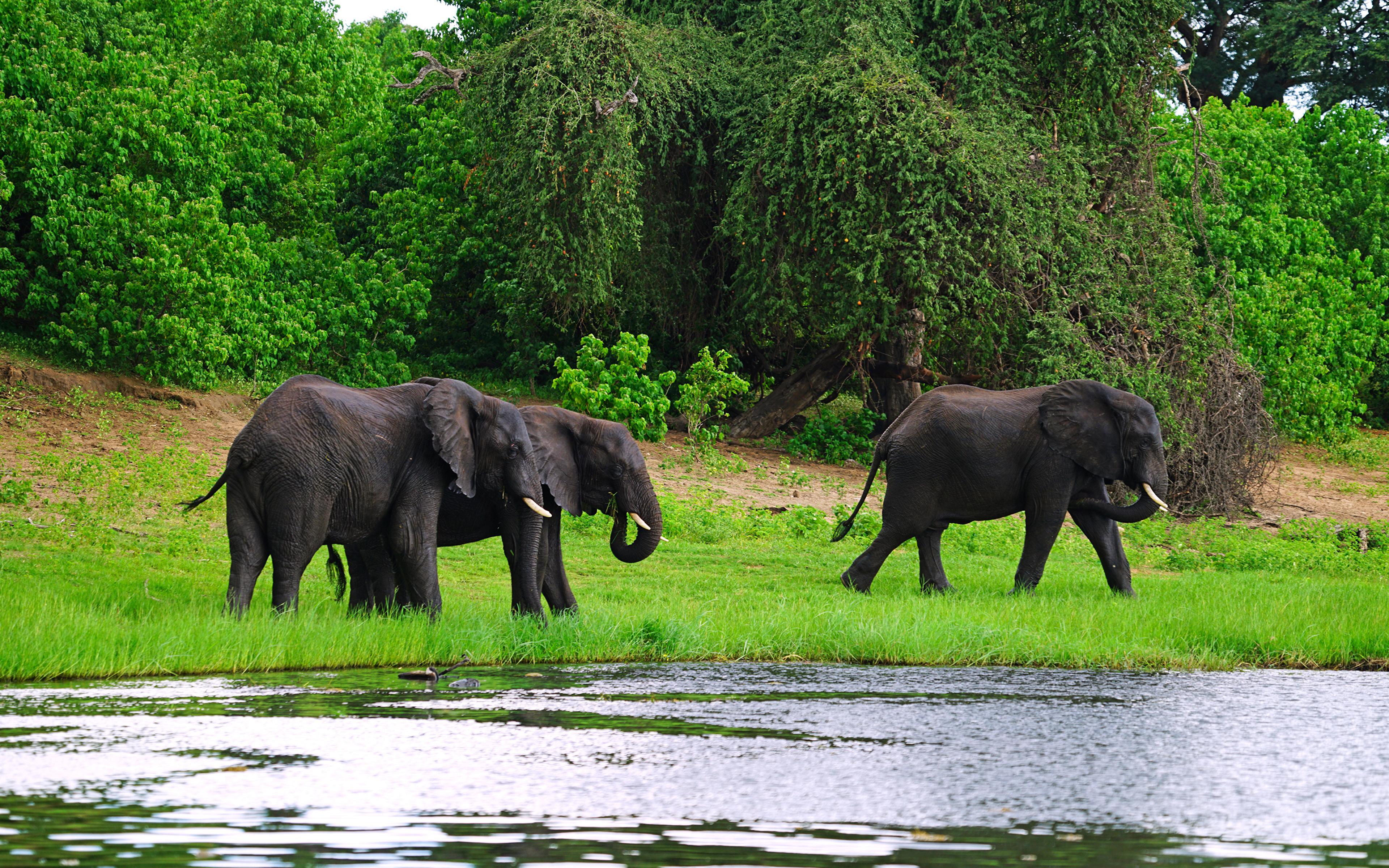 Картинка слон Трое 3 Побережье Животные 3840x2400 Слоны три берег втроем животное