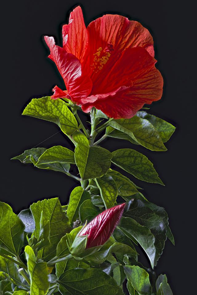 Фото Листья красная Цветы Гибискусы Бутон Черный фон 640x960 для мобильного телефона лист Листва красных красные Красный цветок на черном фоне